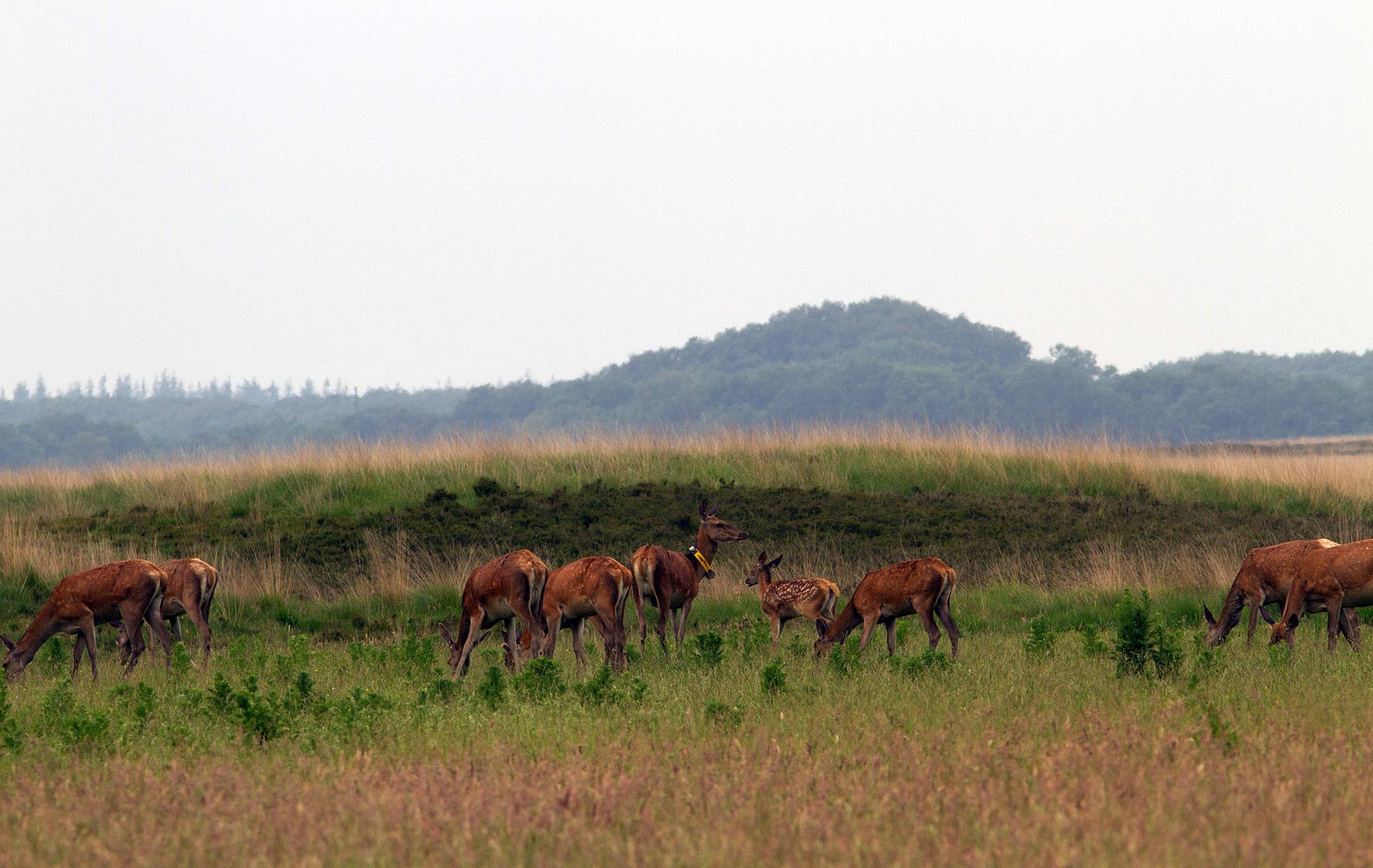 Een wildweide in de rand van een rustgebied kan roodwild goed zichtbaar maken – Foto: Yvonne Arentzen