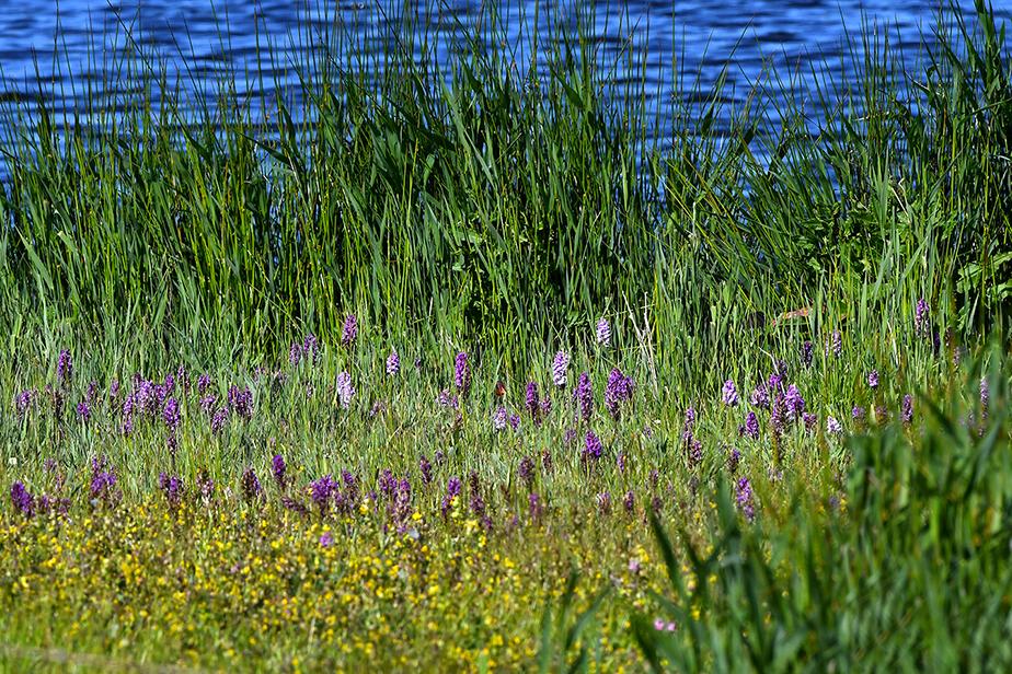 Langs de waterkant zien we een klein paradijsje vol met prachtige Orchideën - Foto: ©Louis Fraanje