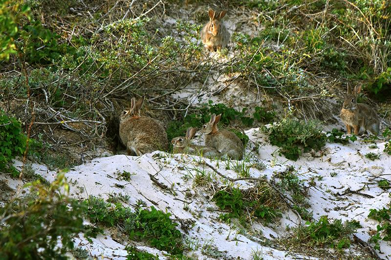 Hier zit een vrouwtje met twee kleine voor het hol met nog twee anderen er omheen - Foto: ©Louis Fraanje