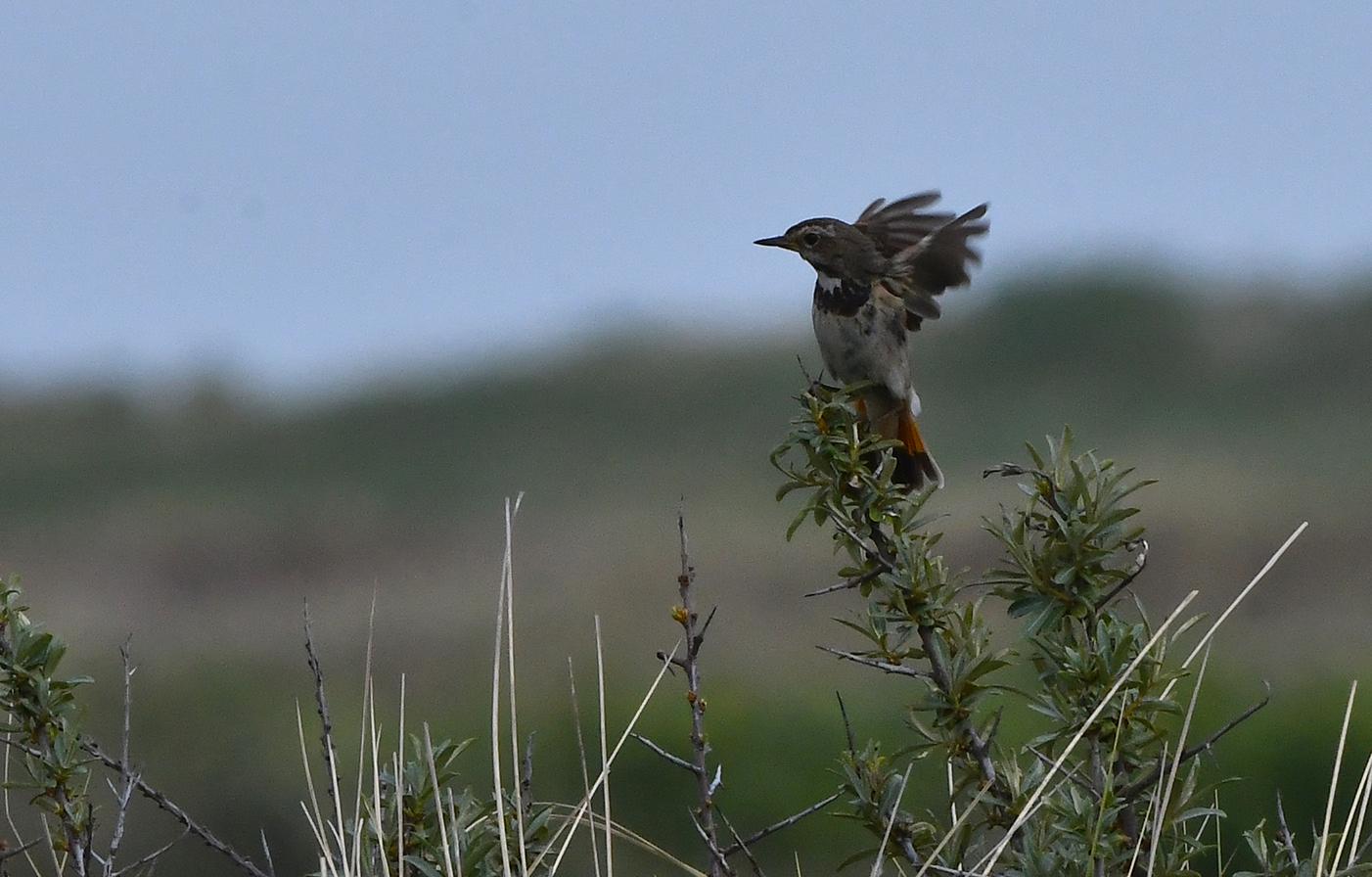 Het vrouwtje wordt er blij van en klapt met haar vleugels - Foto: ©Louis Fraanje