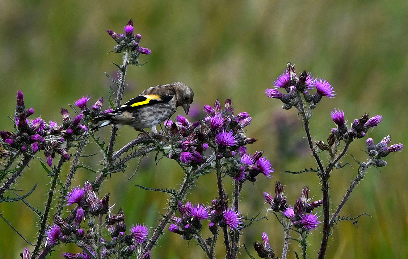 De onderzijde is lichter dan die van een volwassen vogel en de kop is effen gekleurd – Foto: ©Louis Fraanje