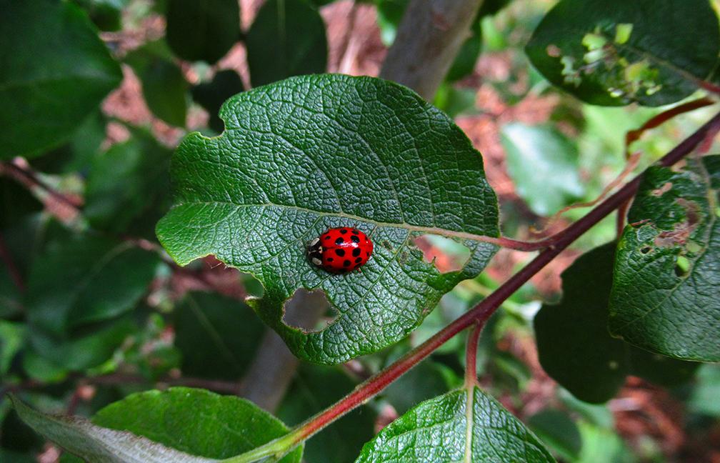 Het felrode lieveheersbeestje steekt wel heel erg af tegen het groene blad- Foto: ©Fransien Fraanje