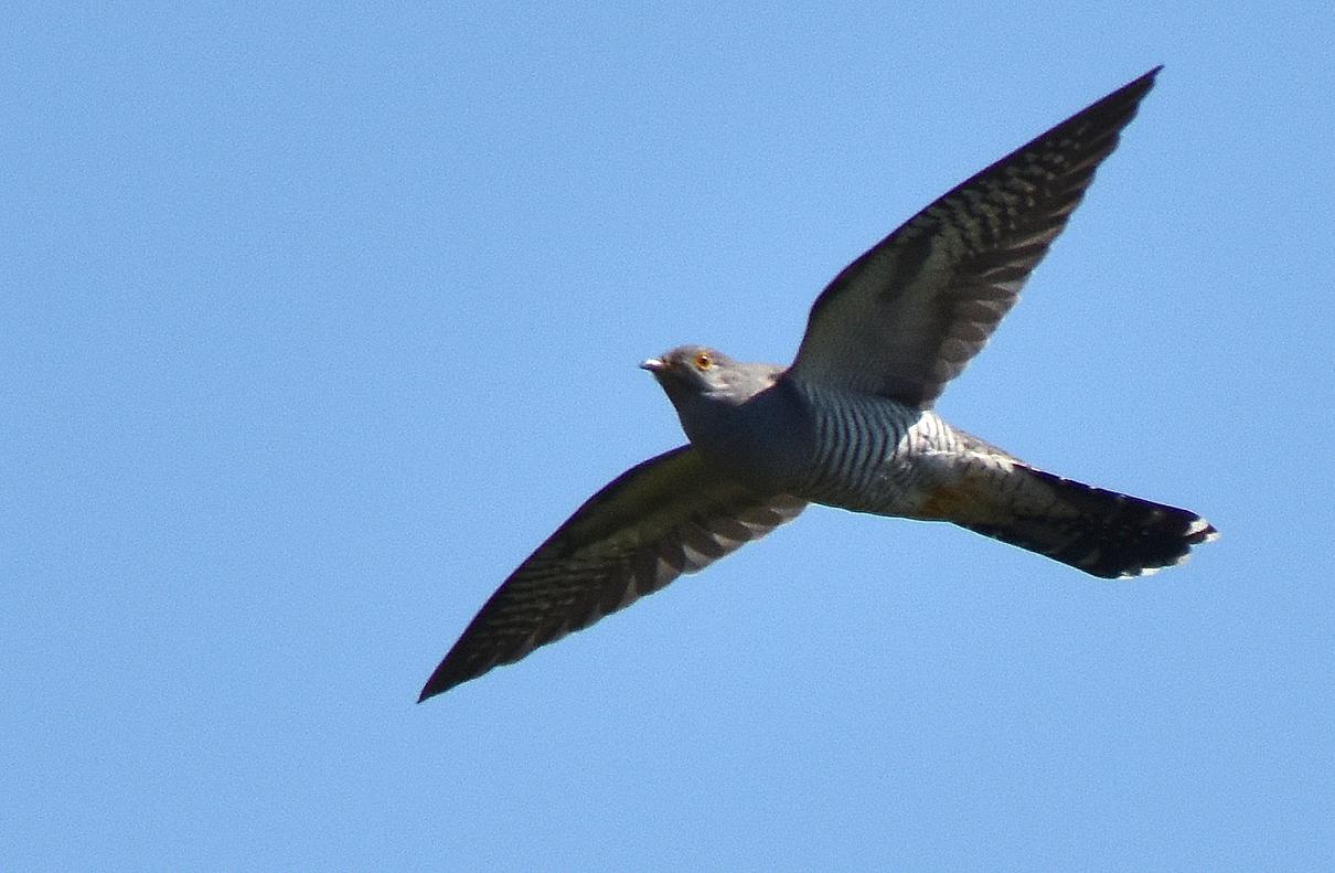 Komt ineens de Koekoek over ons heen vliegen en... weg is hij weer! - Foto: ©Louis Fraanje