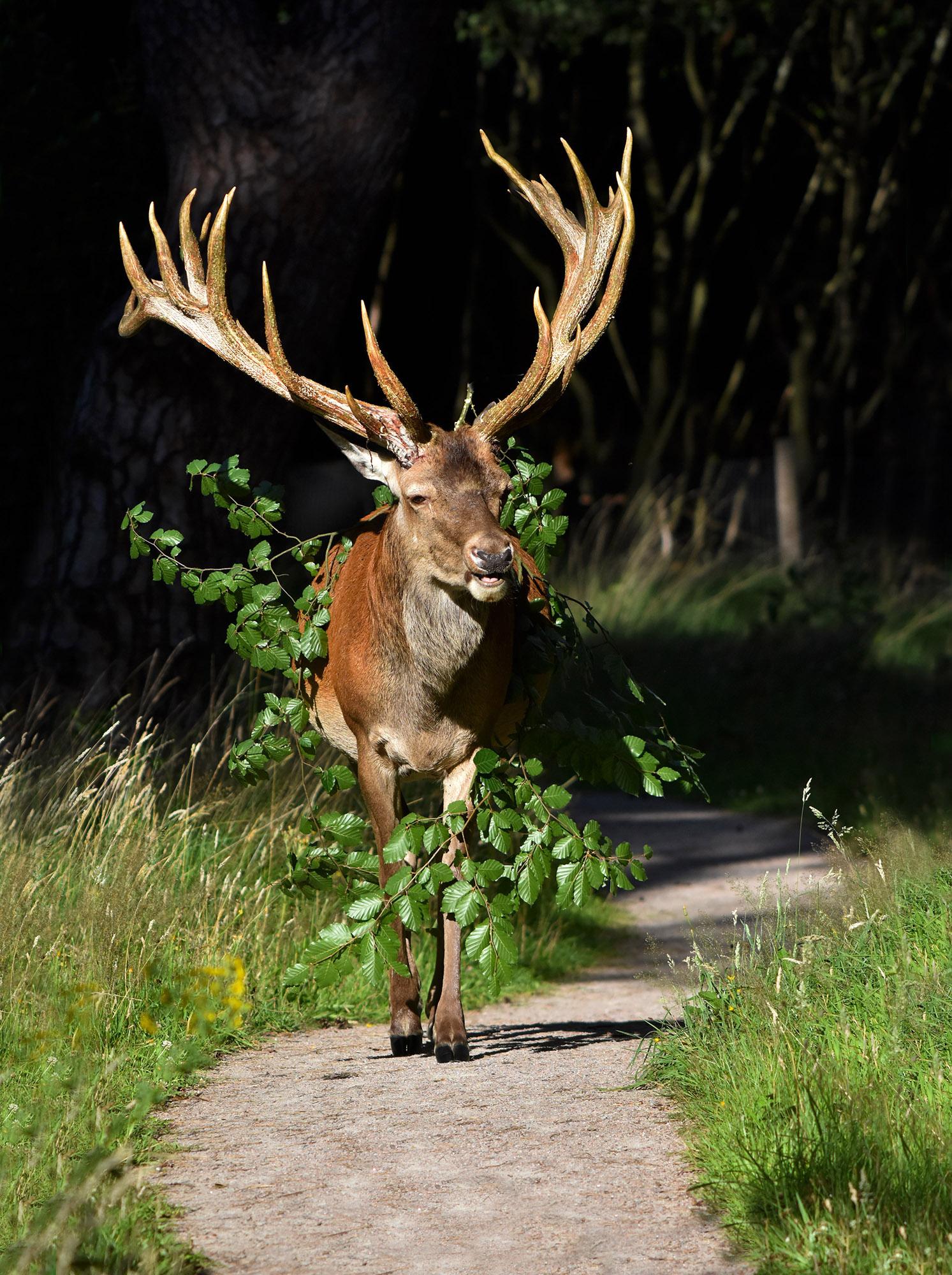 Een gelauwerde Hubertus komt ons tegemoet wandelen – Foto: ©Louis Fraanje