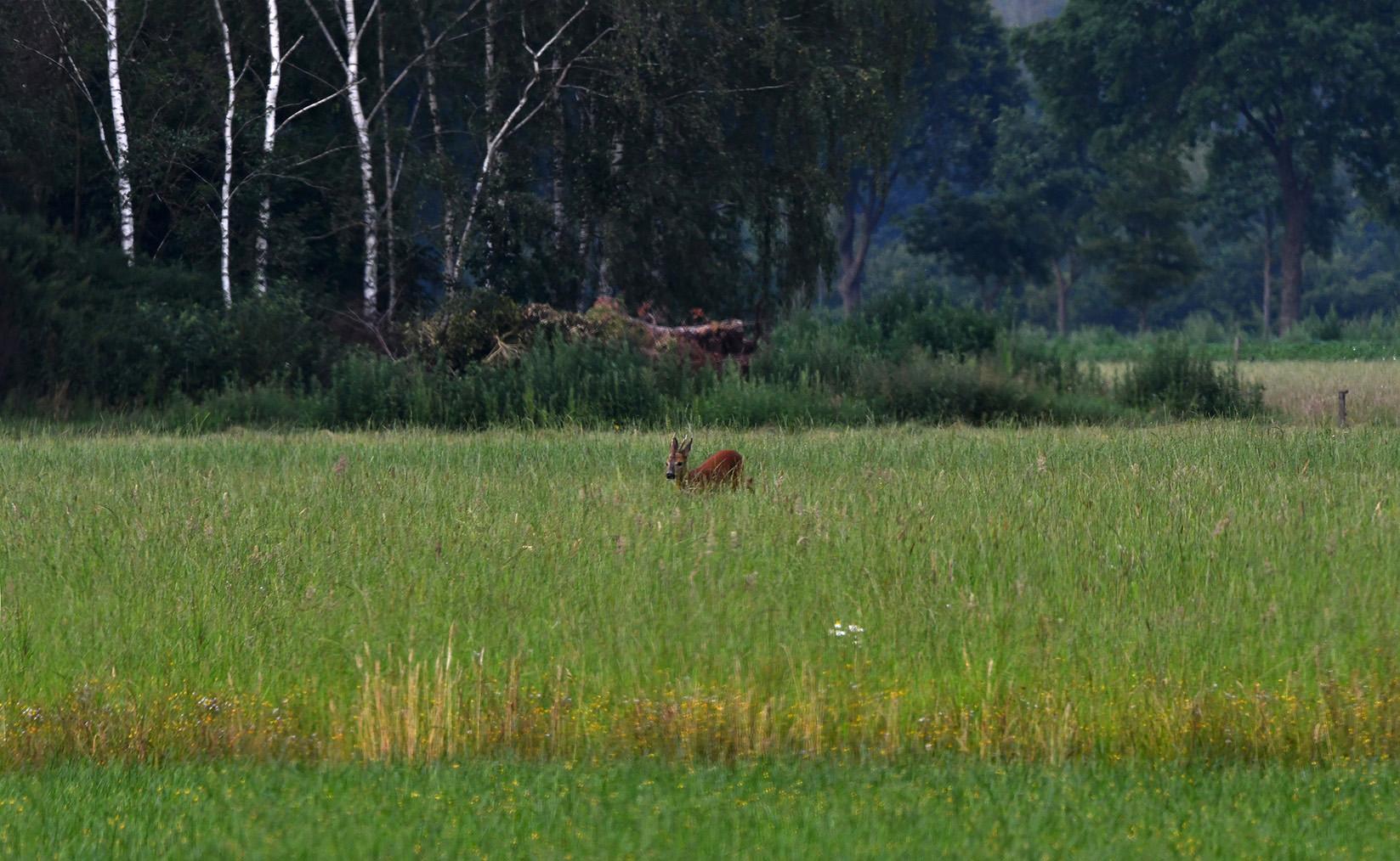 Vanuit het omliggende bos kwam een jonge reebok tevoorschijn – Foto: ©Louis Fraanje