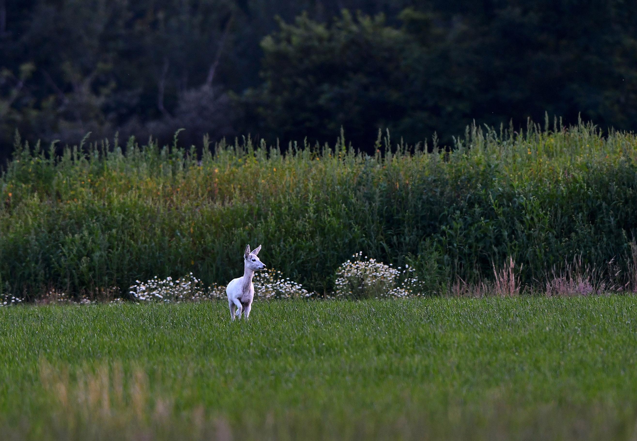 Ineens kwam het witte ree uit het struikgewas tevoorschijn – Foto: ©Louis Fraanje