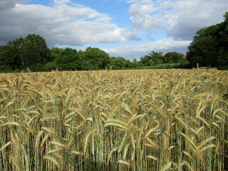 Het koren rijpt op het boerenland - Foto: ©Fransien Fraanje