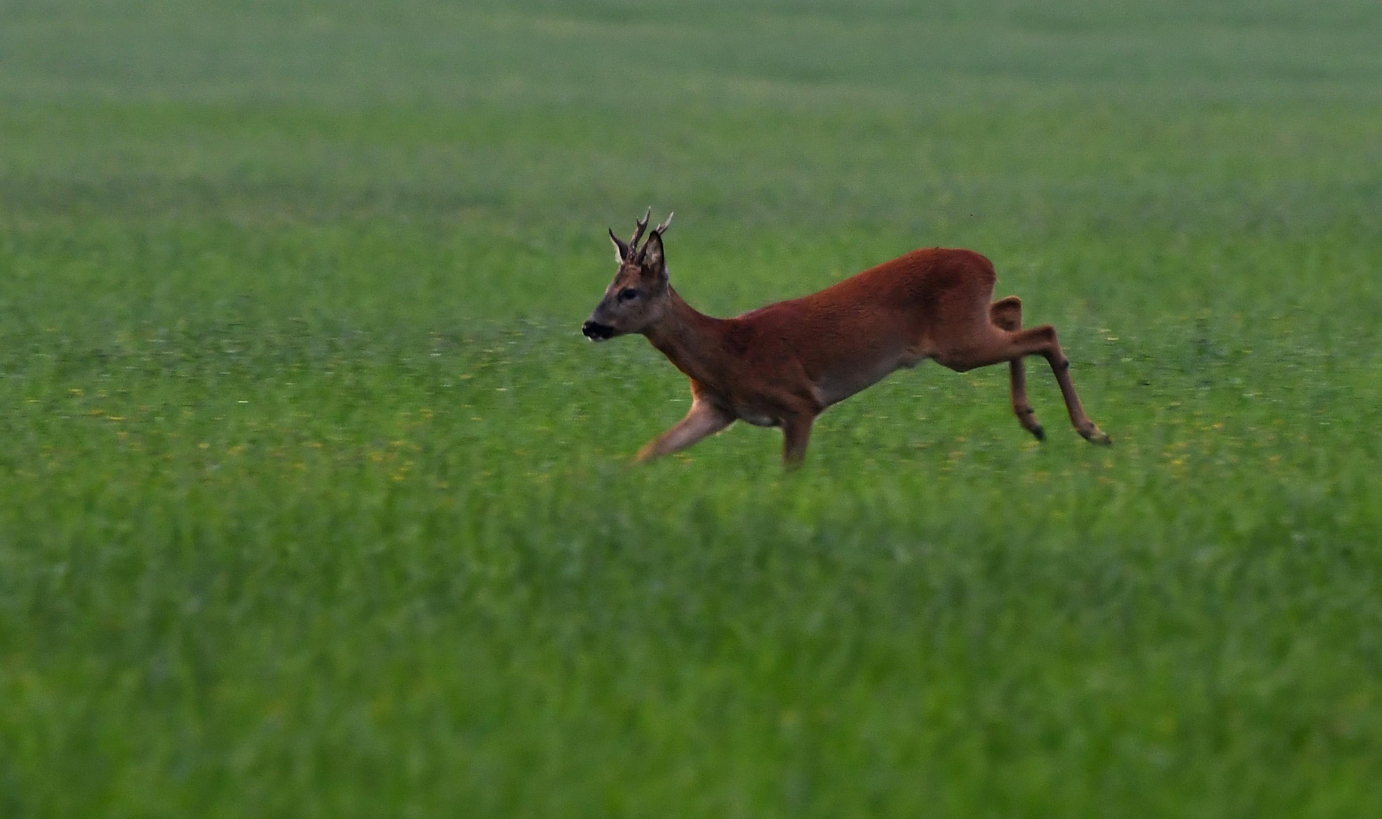 Het blijkt een jonge gaffelbok te zijn – Foto: ©Louis Fraanje