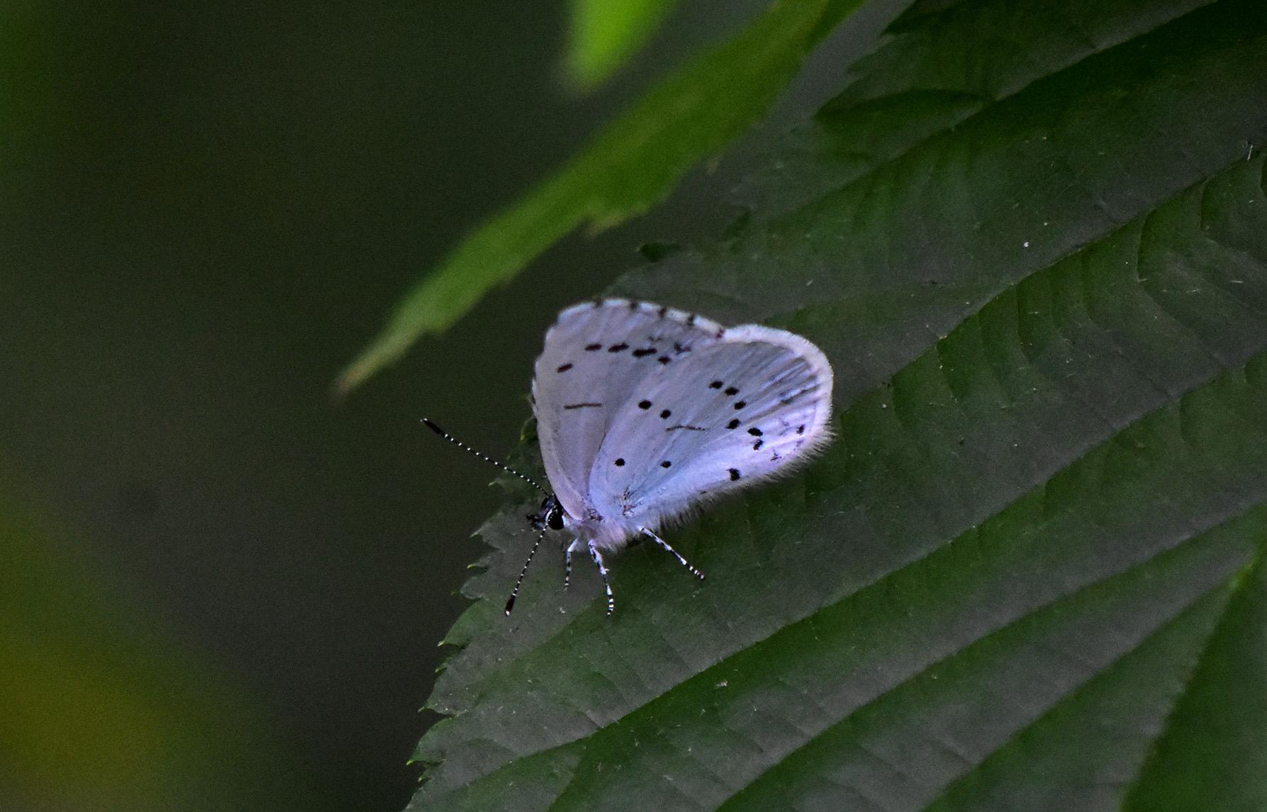 Een Boomblauwtje komt even tot rust in Het Paradijs - Foto: ©Louis Fraanje