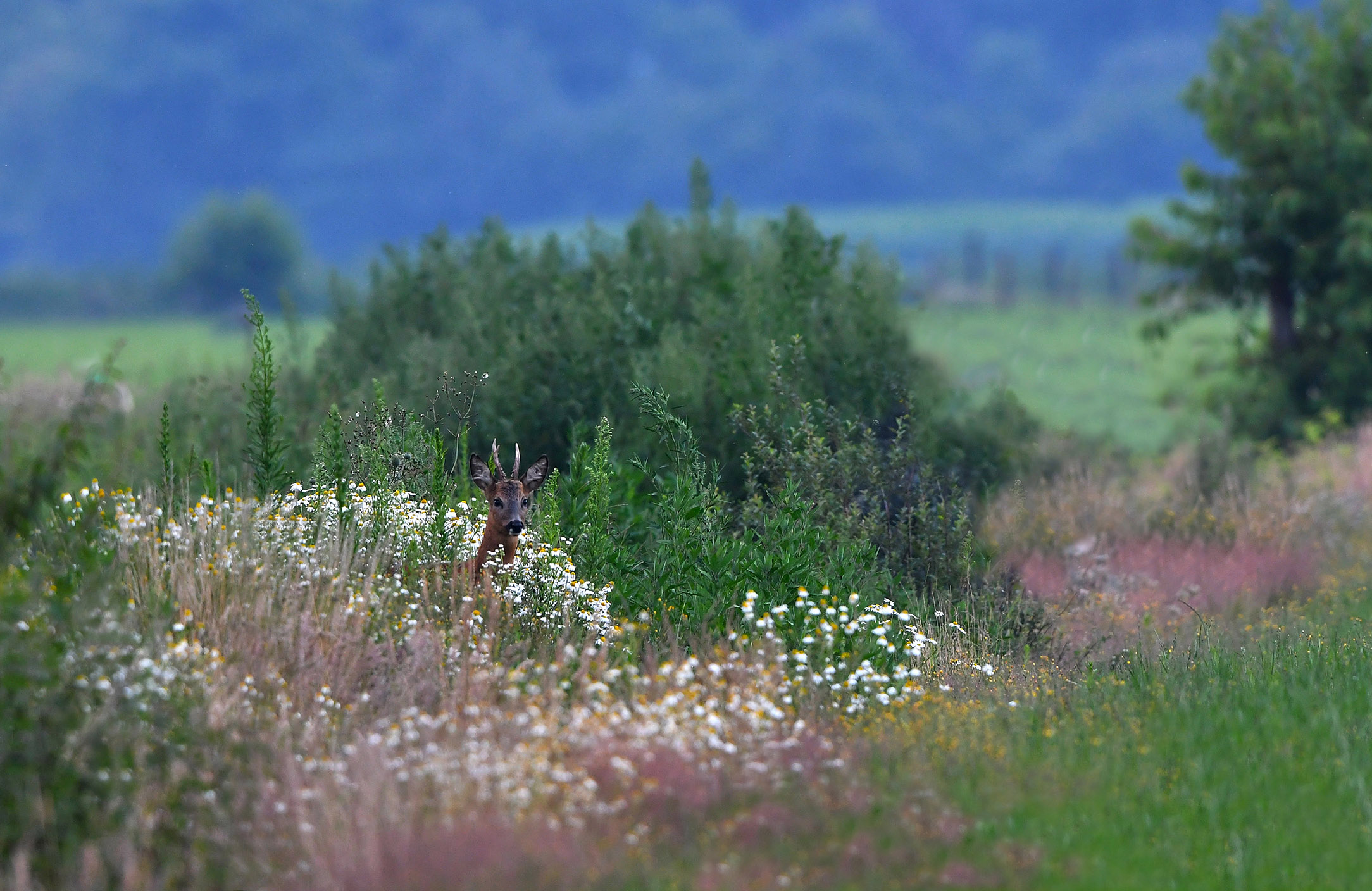Dan ineens... verschijnt de reebok tussen de bloemen – Foto: ©Louis Fraanje