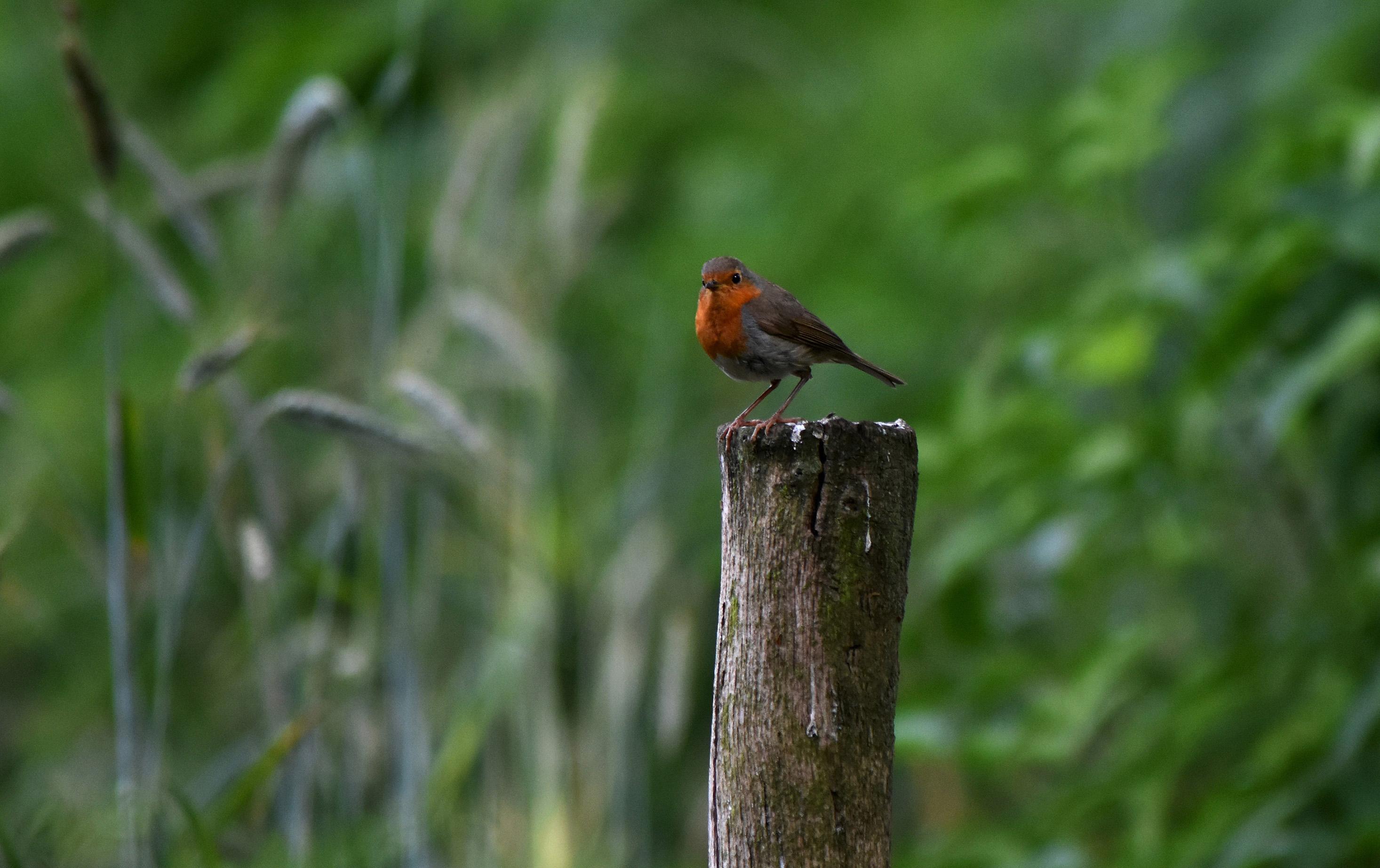 Het Roodborstje op de paal bleef ons later maar volgen in het bos - Foto: ©Louis Fraanje