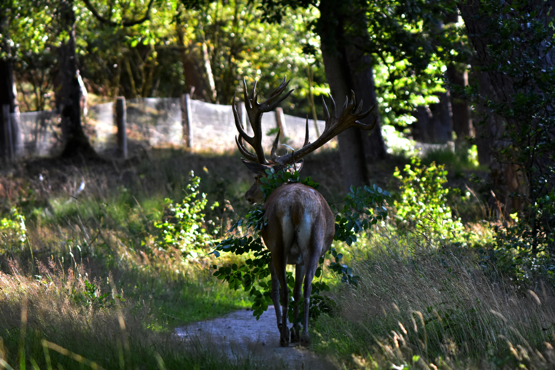 Ongestoord vervolgd Hubertus zijn weg over het wandelpad – Foto: ©Louis Fraanje
