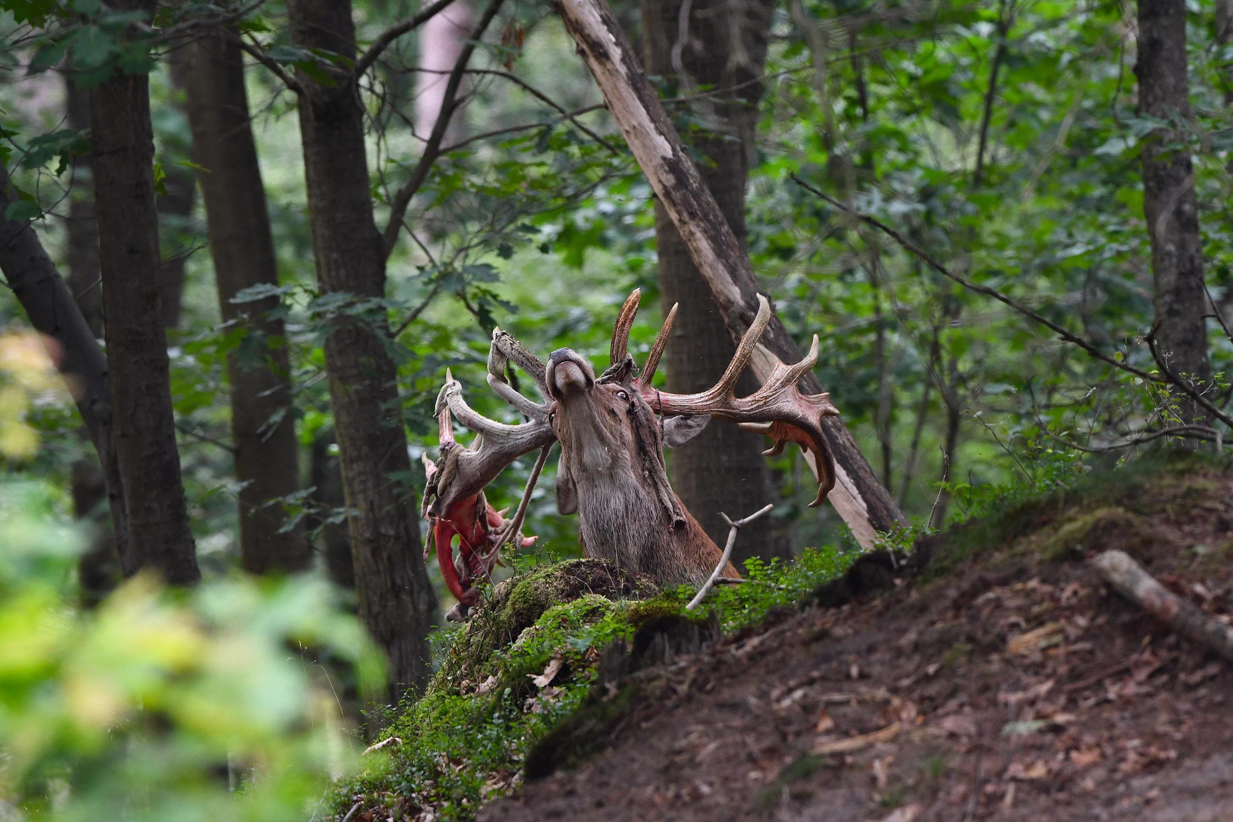 De vellen van de basthuid hangen langs zijn kop – Foto: ©Louis Fraanje