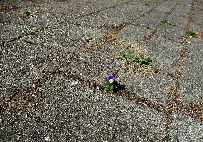 Een klein bloemetje, dat zich tussen de stoeptegels omhoog heeft gewerkt - Foto: ©Louis Fraanje