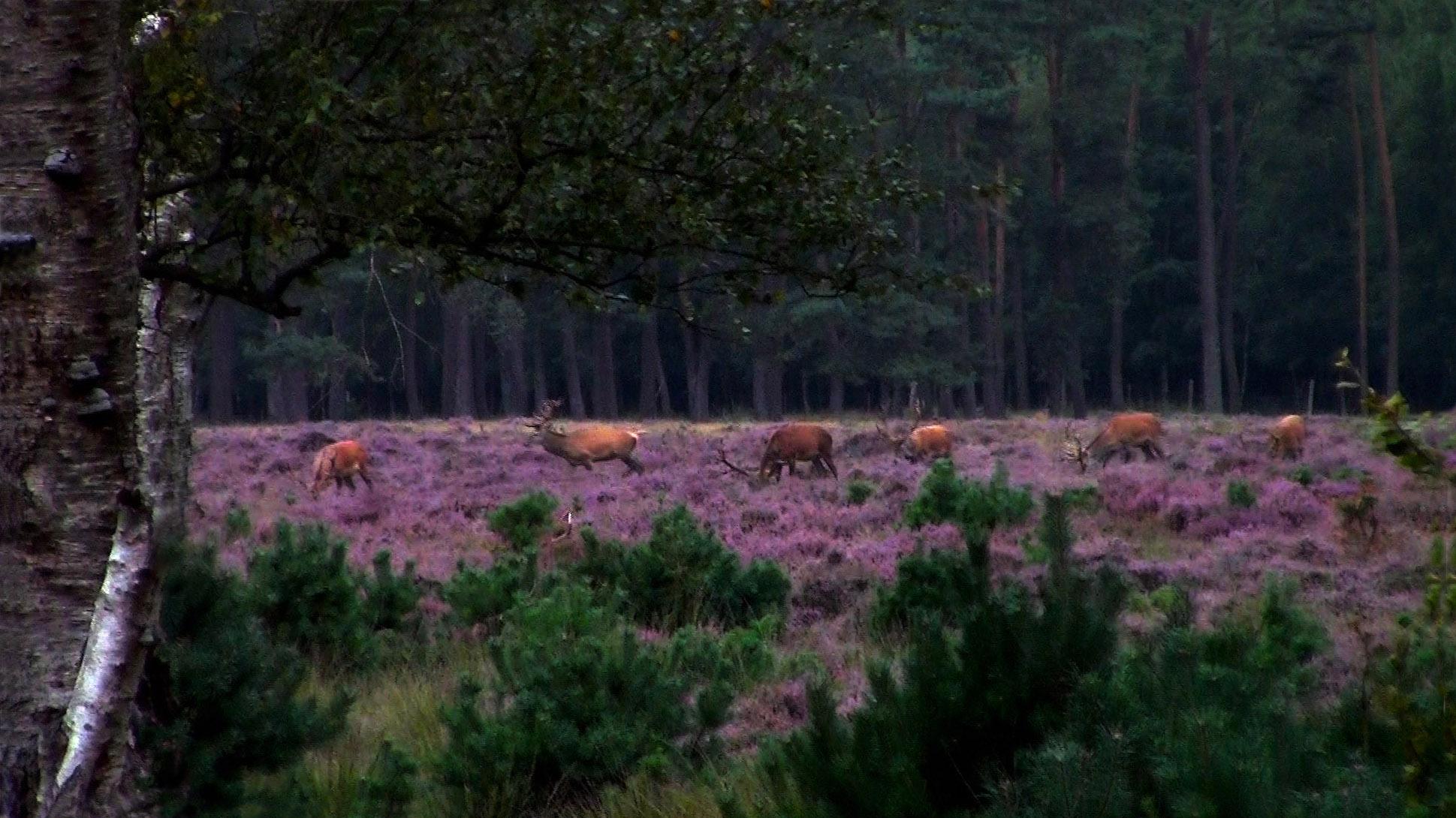 Het roedel edelherten trekt door de bloeiende heide - Foto: ©Jannie van den Berg