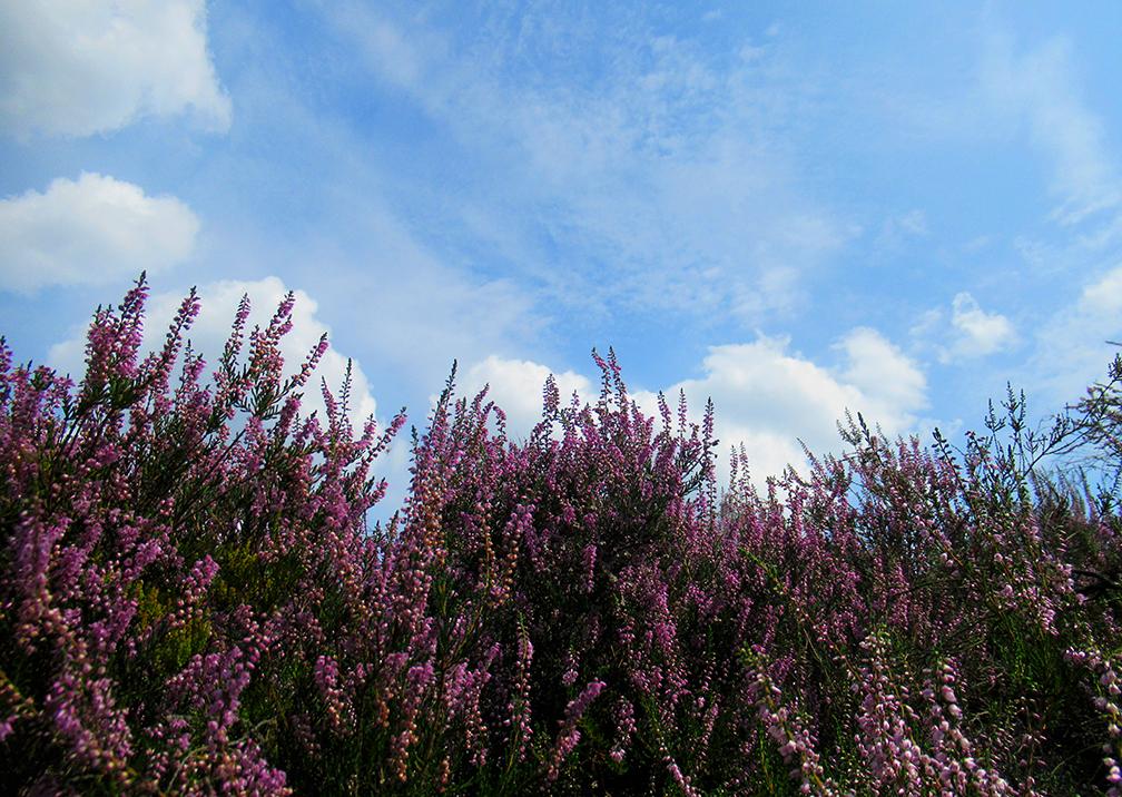 De paars bloeiende heide op de uitgestrekte Veluwe is een waar natuurfeest - Foto: ©Louis Fraanje