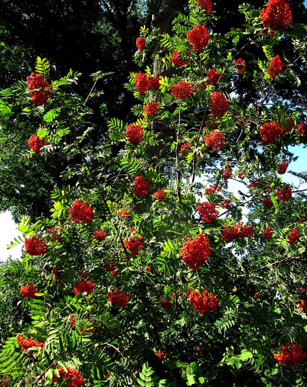 Volop rijpe Lijsterbessen aan de bomen en struiken - Foto: ©Fransien Fraanje