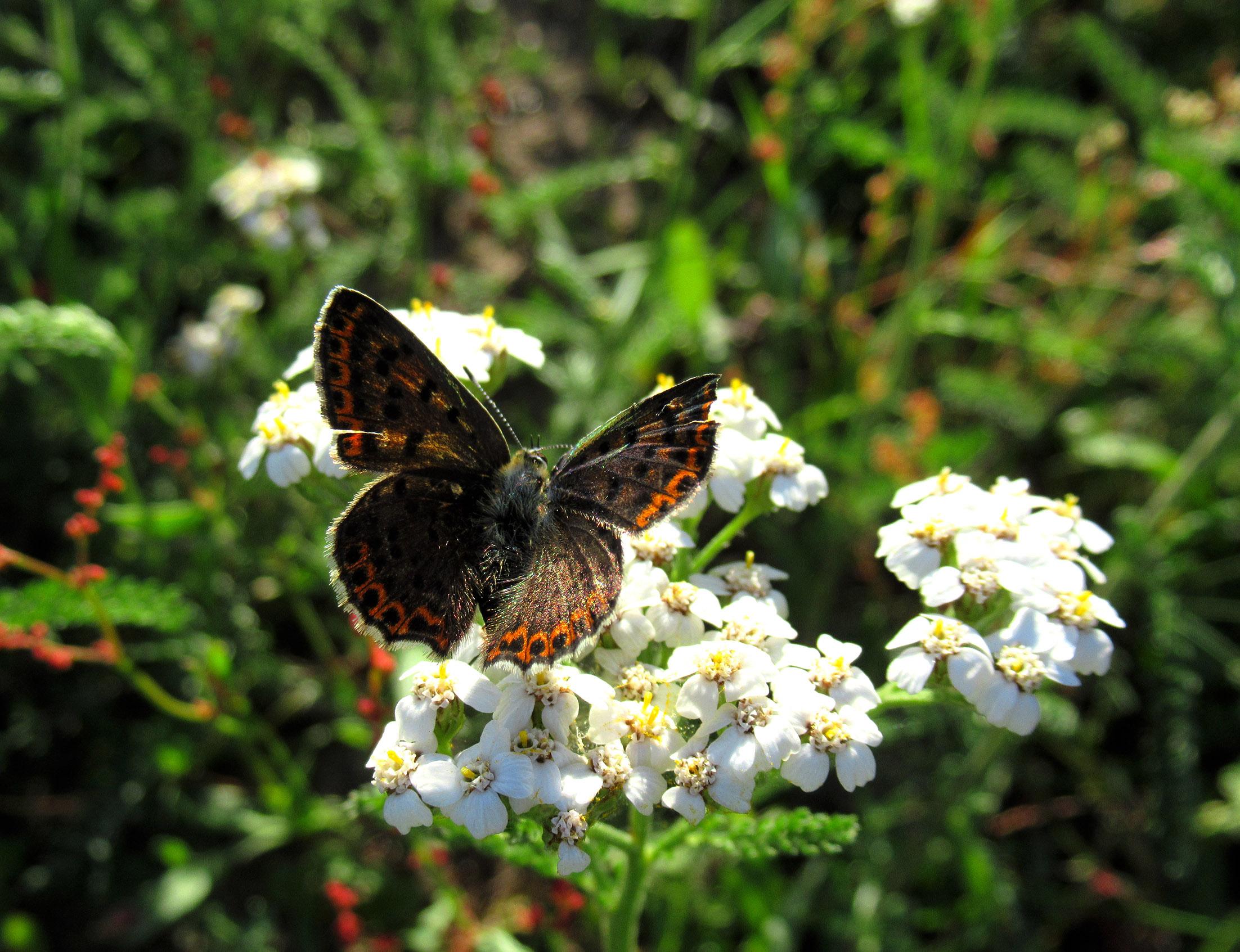 Kleine vuurvlinder is druk bezig om nectar te verzamelen - Foto: ©Fransien Fraanje