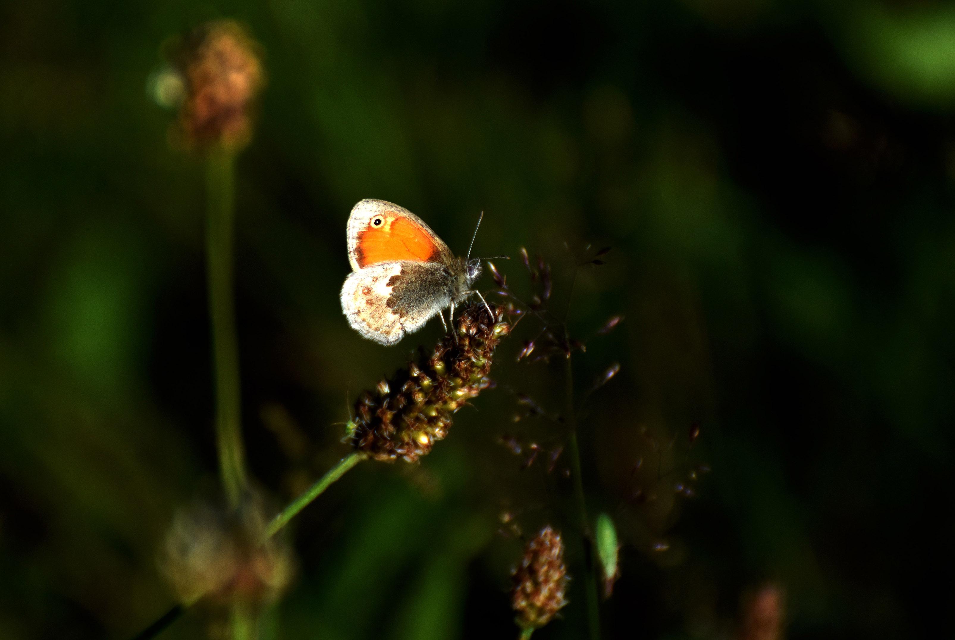Het zandoogje op een plantje in de heide - Foto: © Louis Fraanje