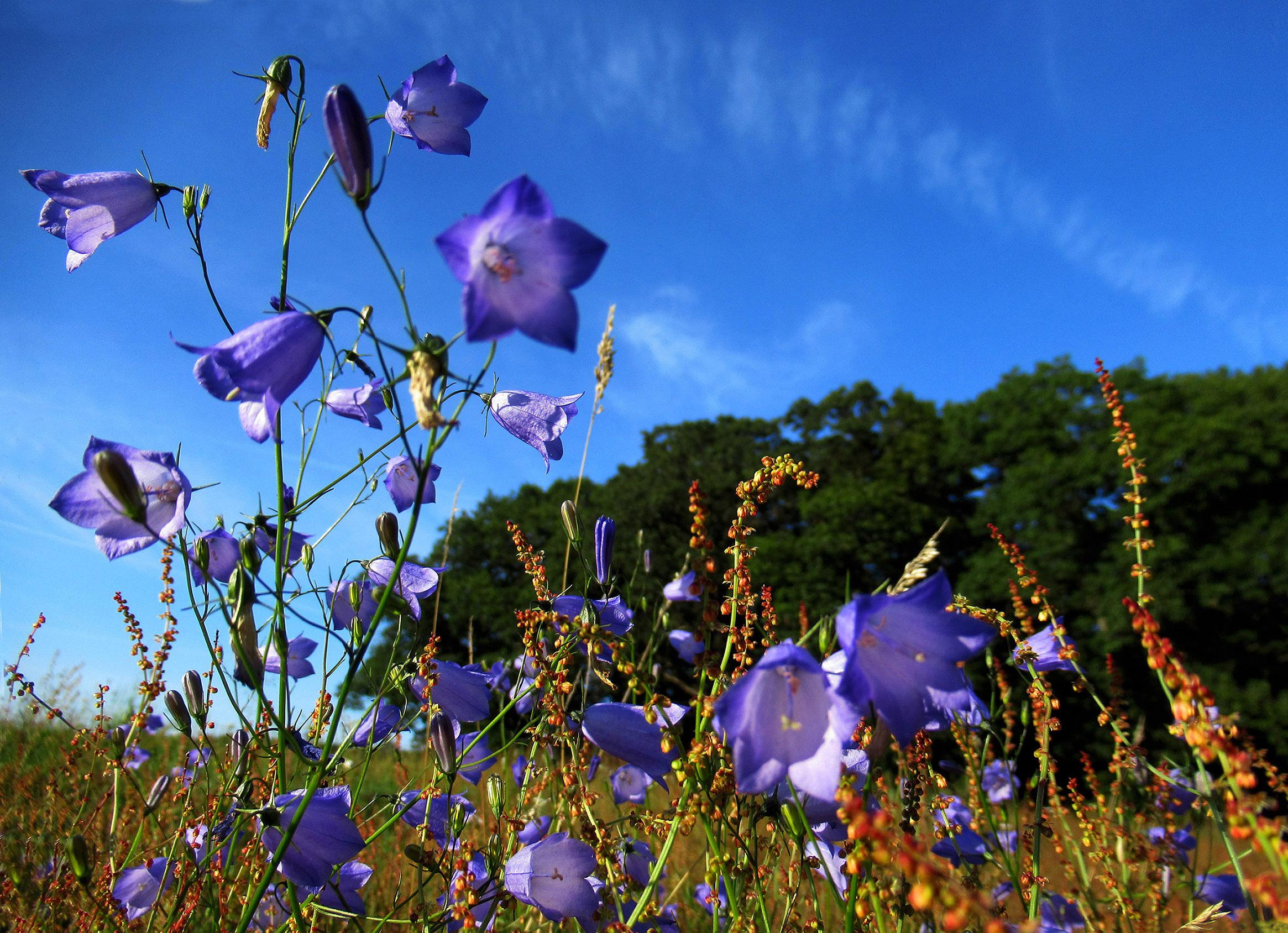 Wat een schitterende bloemen zijn het toch die blauwe Grasklokjes - Foto: © Louis Fraanje