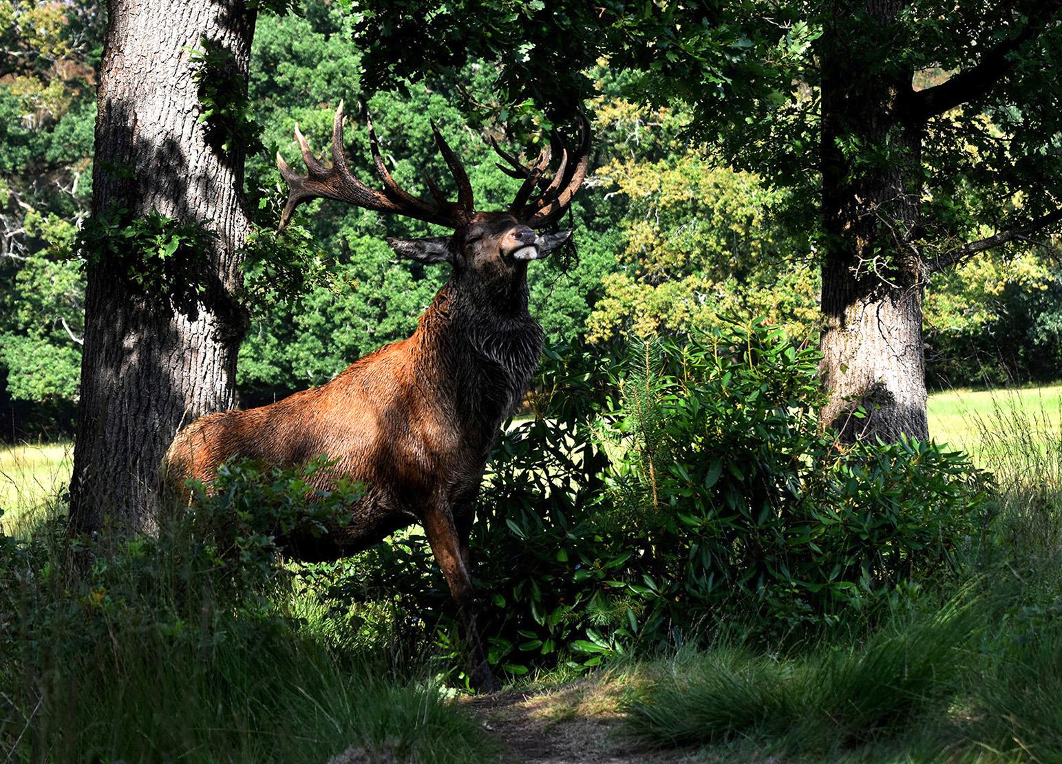 Een trotse Hubertus, die... ondanks zijn wond, in de boomtakken blijft raggen - Foto: ©Louis Fraanje