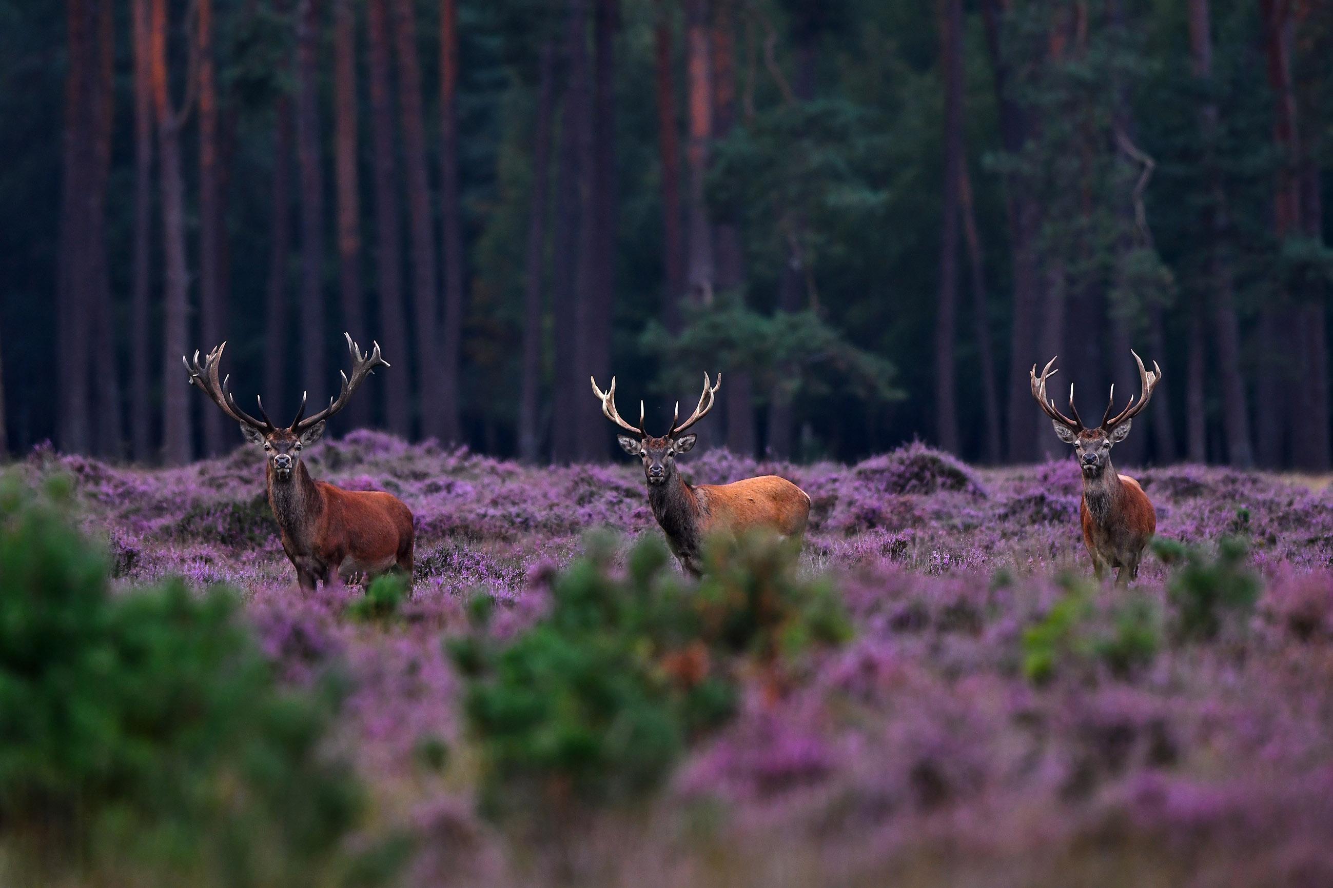 Een drietal machtige geweidragers in de bloeiende heide – Foto: ©Louis Fraanje