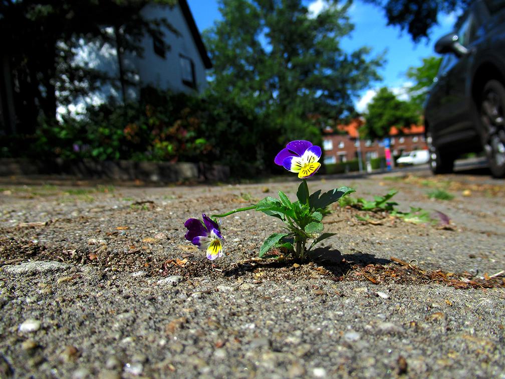 Vrolijk en fier staat daar een kleurrijk viooltje, gewoon midden op de stoep - Foto: ©Louis Fraanje