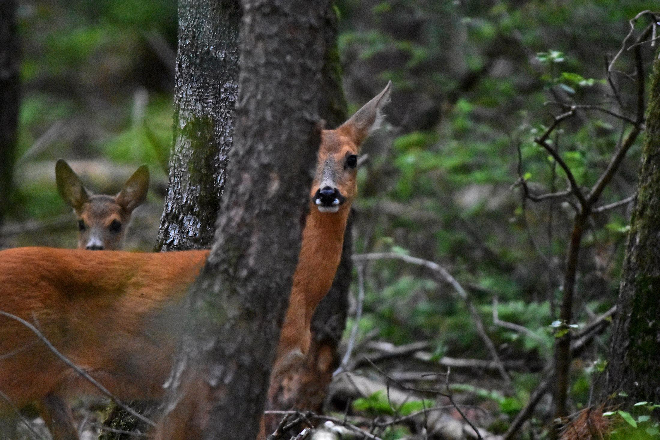 Maar snel is moeder reegeit in de buurt en kijkt schuin vanachter een boom wat er 'loos' is - Foto: ©Louis Fraanje