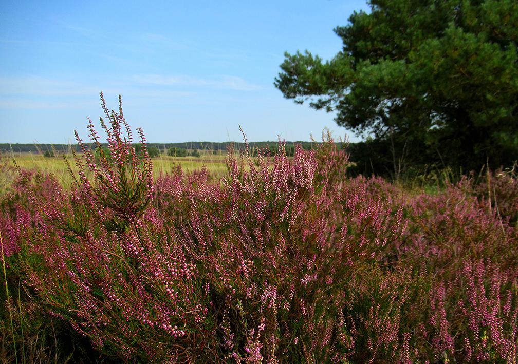 Niet alleen de paarse kleur, maar ook de heerlijke geur van de heide is een lust voor de natuurliefhebber - Foto: © Louis Fraanje