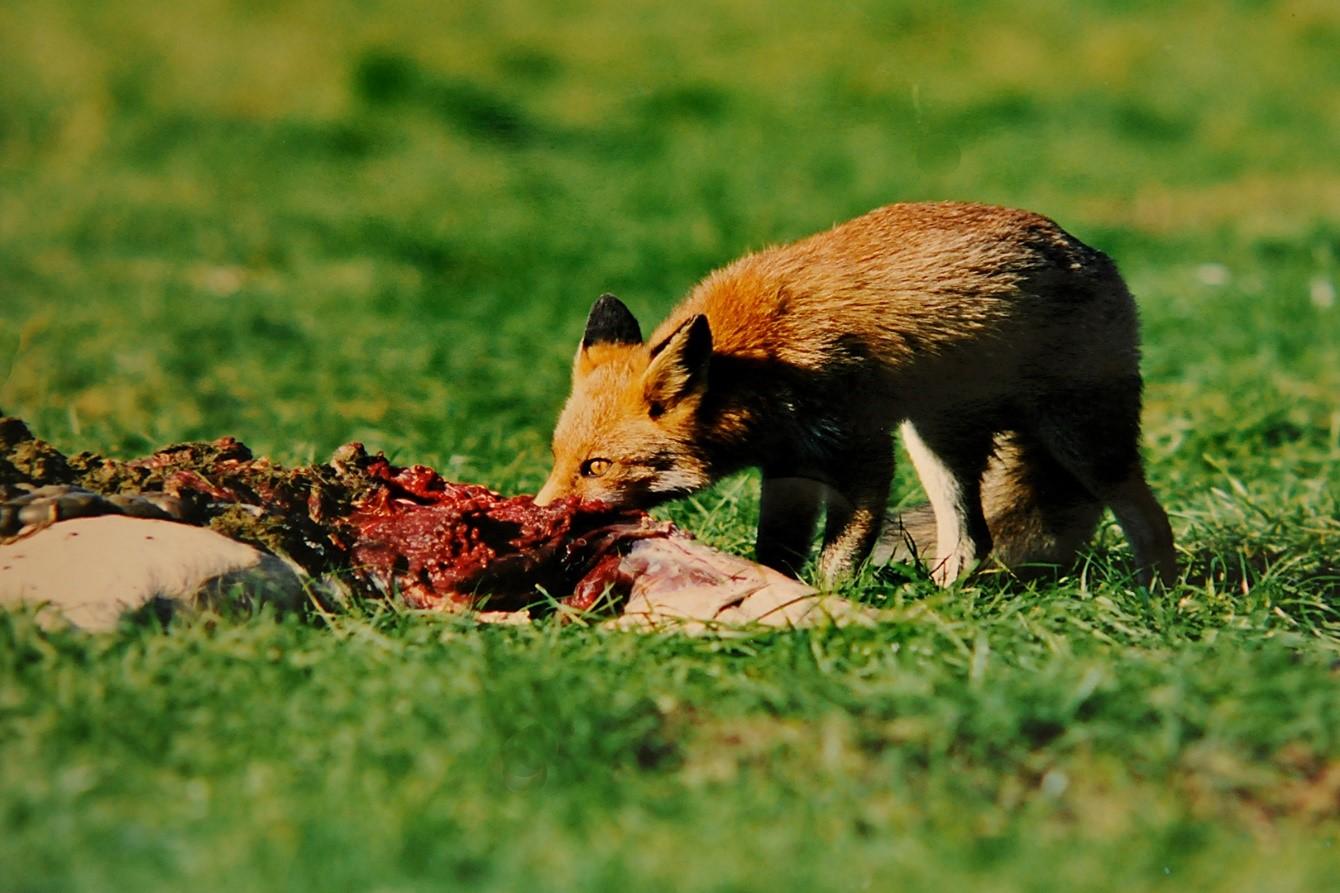 De vos begon direct van de overheerlijke (biomassa) te smullen – Foto: ©Ton Heekelaar