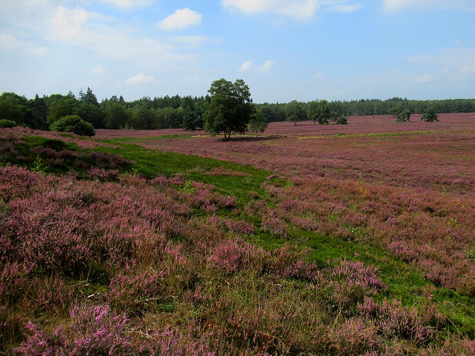 Ook staat er veel groene Kraaiheide tussen de paarse Struikheide, een schitterend contrast - Foto: ©Louis Fraanje