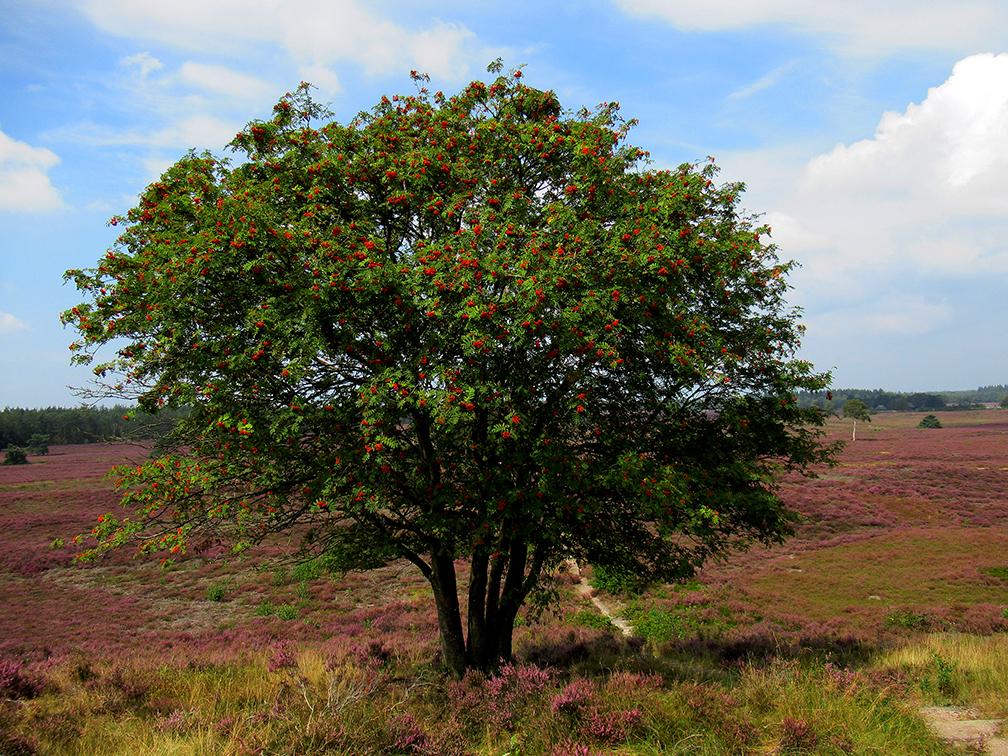 Een prachtige boom deze Lijsterbes, een mooi contrast met de paarse heide - Foto: ©Fransien Fraanje