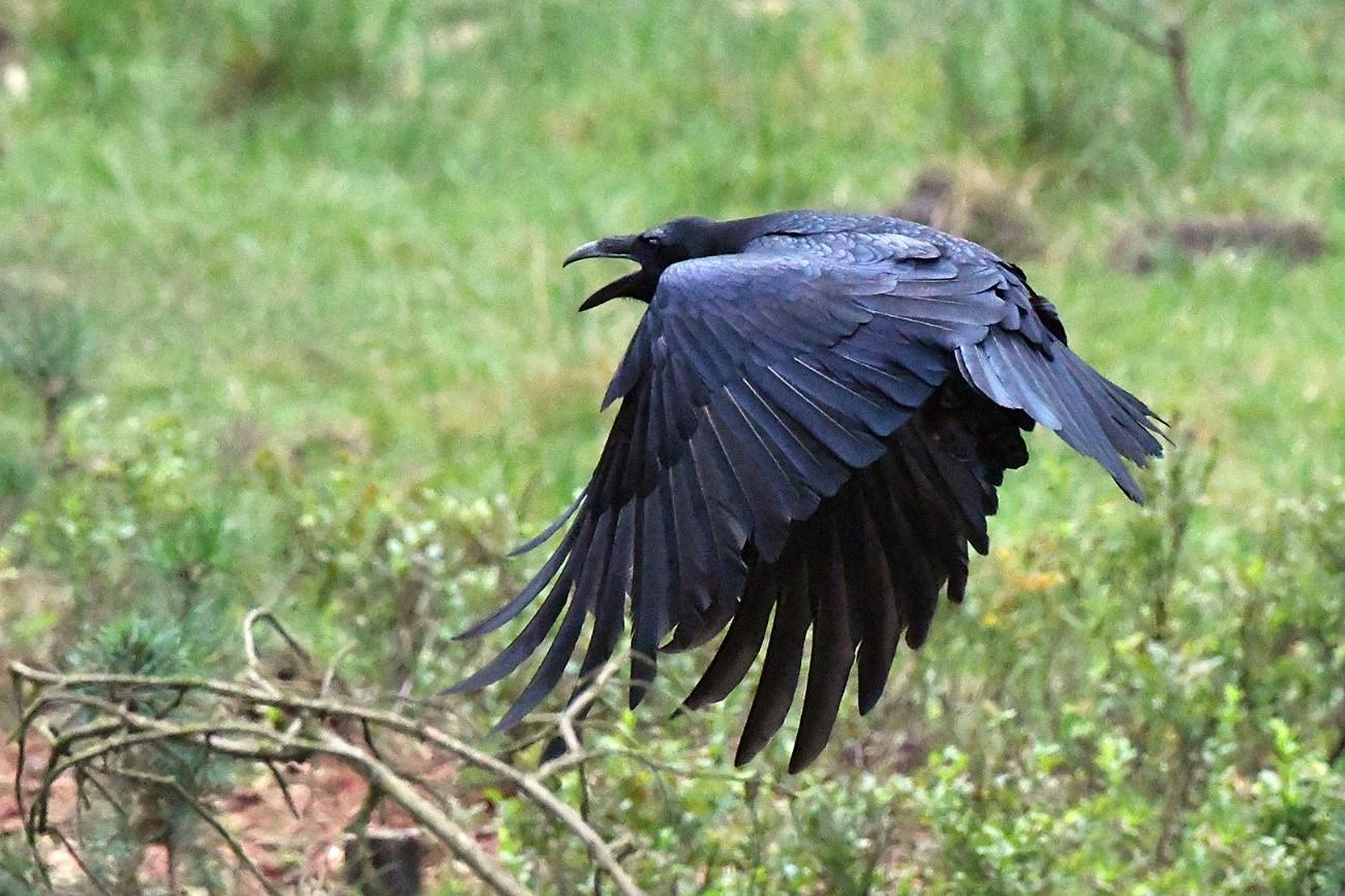 Ineens vloog een raaf met een aantal soortgenoten naar het midden van het wildweitje – Foto: ©Ton Heekelaar