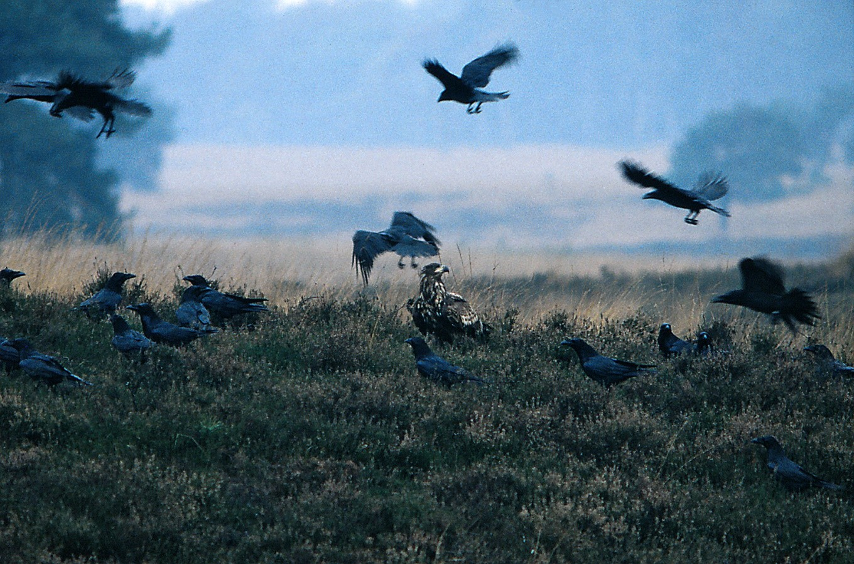 Dit is in 35-jaar mijn 2e waarneming d.d. 5-nov-2001 van een (juveniele) zeearend geëscorteerd door een peloton pesterige raven op de Worth-Rhederheide nabij observatiepost De Elsberg in het Nationaal Park Veluwezoom – Foto: Ton Heekelaar