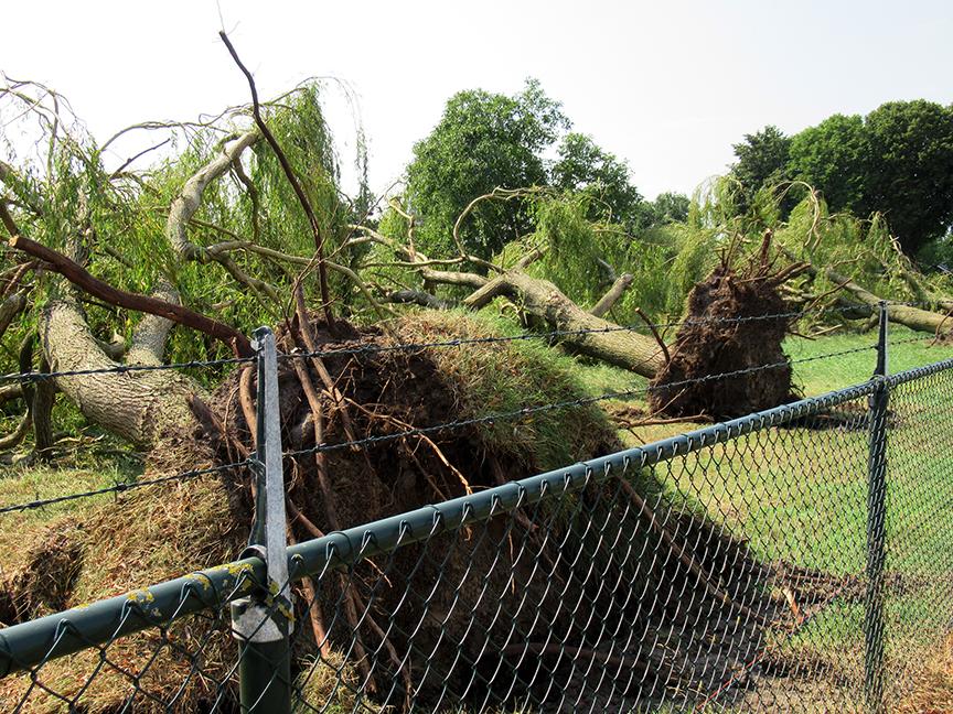 Deze grote treurwilgen zijn gewoom omver geblazen tijdens de storm - Foto: ©Fransien Fraanje