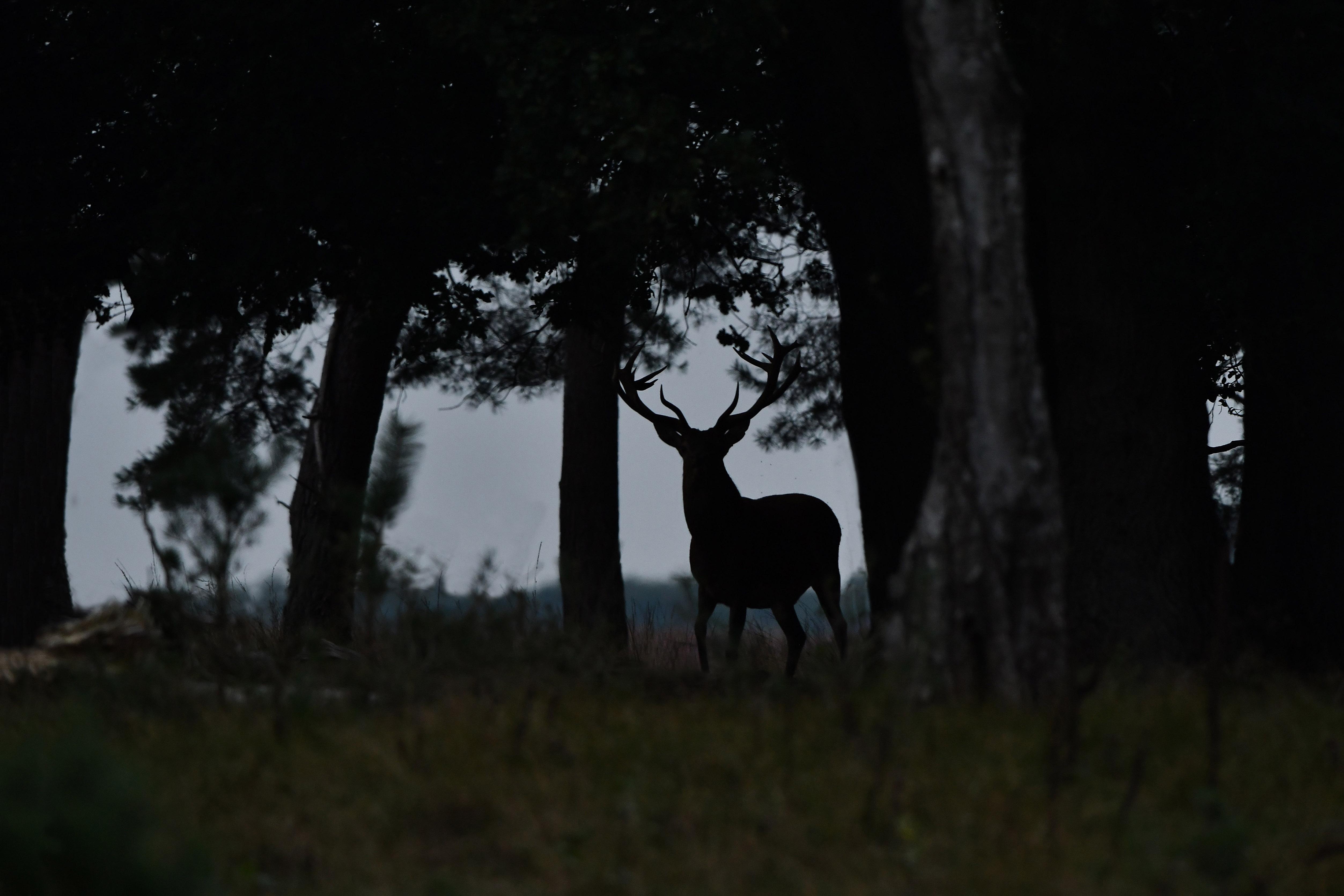 Het silhouet van de 22-ender tussen de bomen van het donkere bos – Foto: ©Louis Fraanje