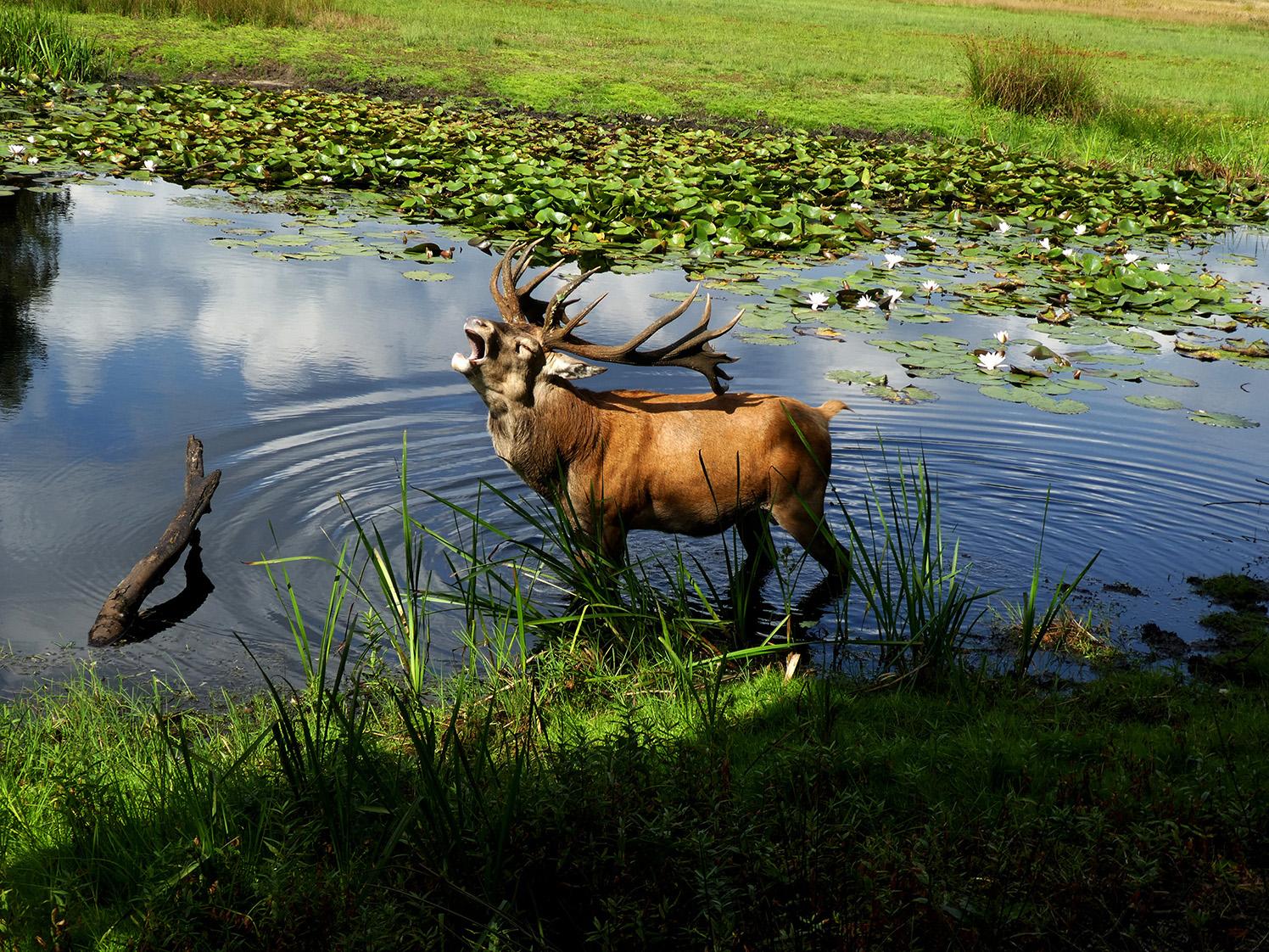 Regelmatig staat Hubertus te gapen terwijl hij verkoeling zoekt in het water - Foto: ©Florus van den Berg