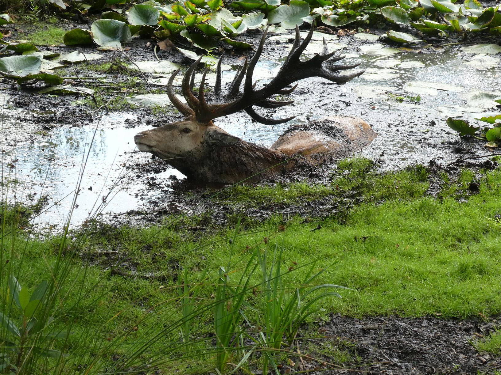 Zo'n heerlijk modderbad is niet te versmaden met die hitte voor Hubertus - Foto: ©Florus van den Berg