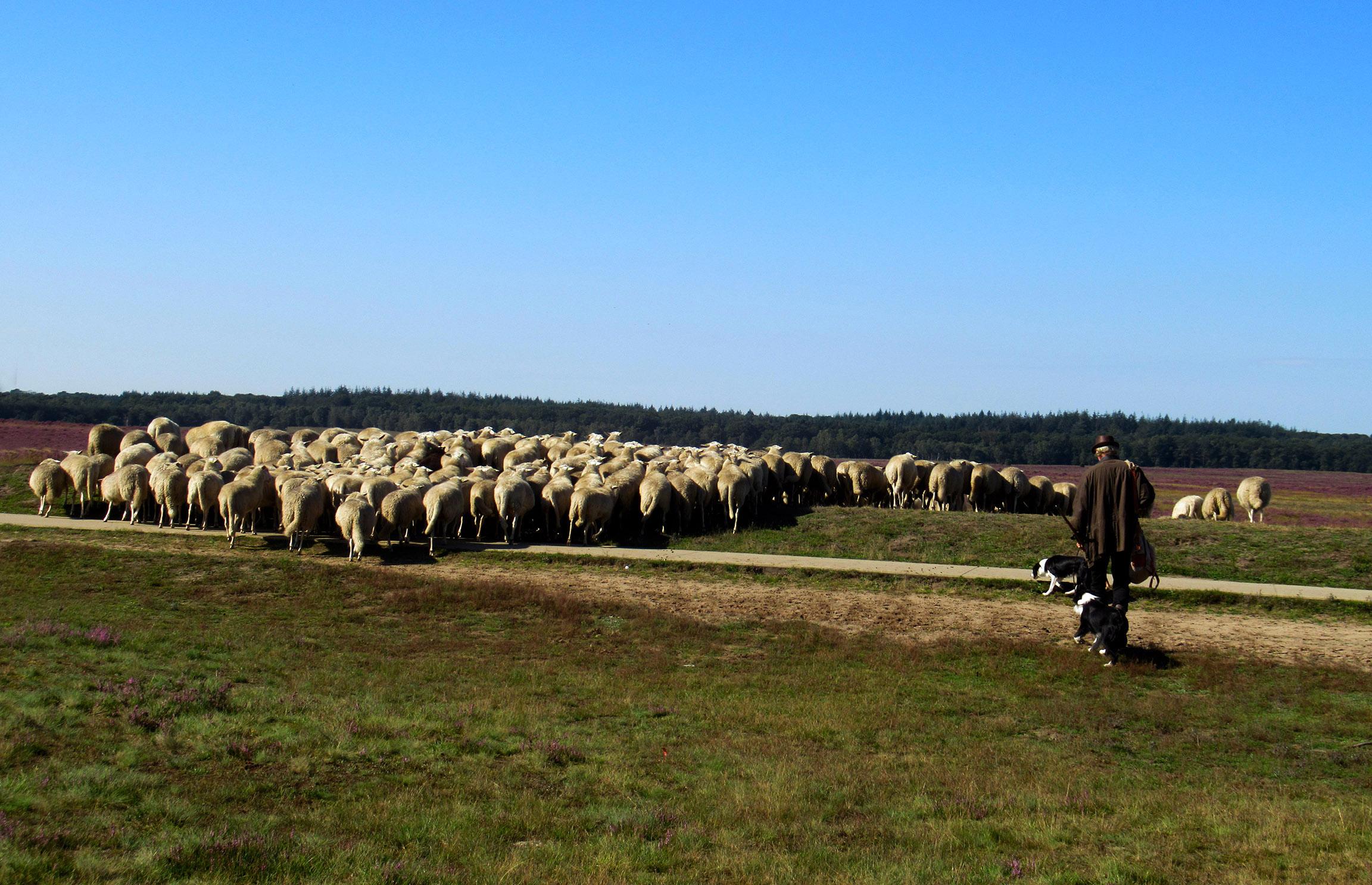 De schaapherder vertrekt vanaf de schaapskooi met zijn kudde de hei op - Foto: ©Louis Fraanje