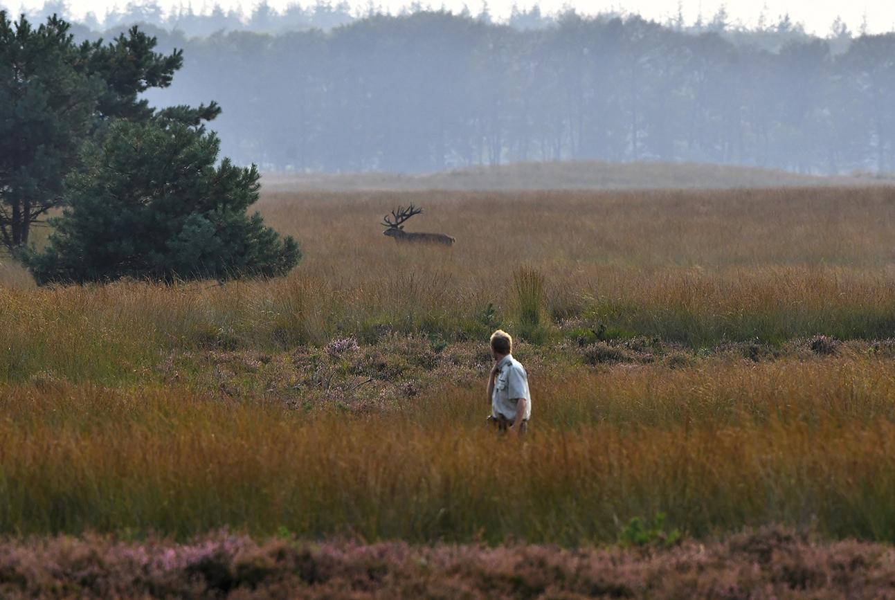 Terwijl de boswachter terugkomt lopen, zien we achterin een edelhert de dekking opzoeken - Foto: ©Louis Fraanje
