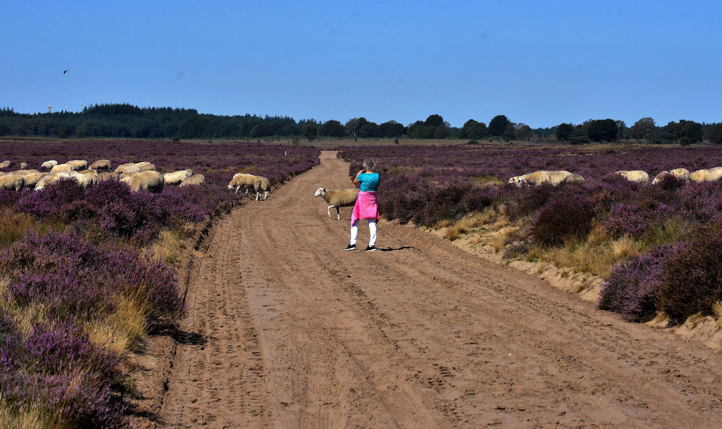 De rest van de kudde volgt vanzelf en Fransien legt het vast op de gevoelige plaat - Foto: ©Louis Fraanje