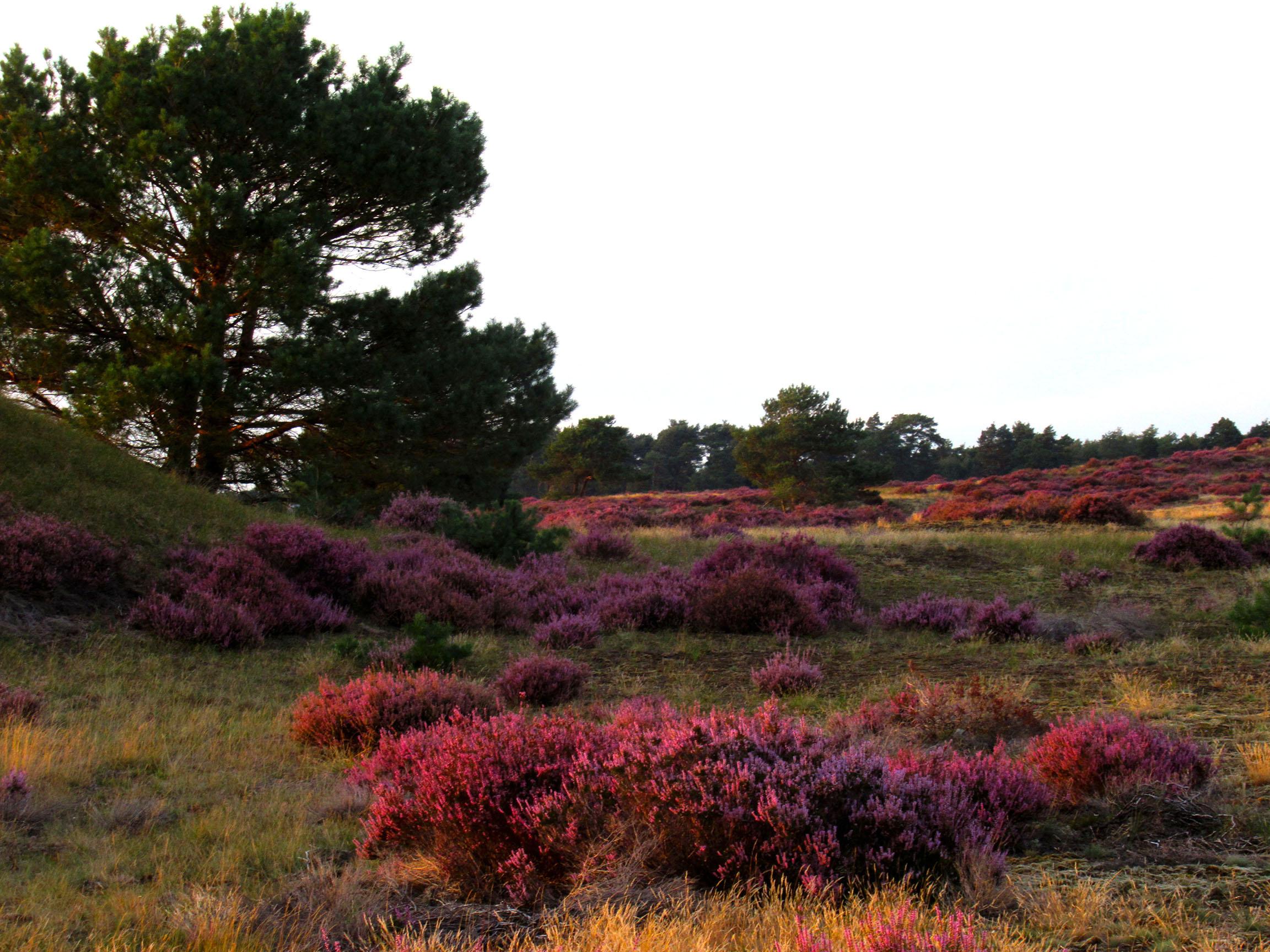 Prachtig bloeiende heide op het Deelense Zand – Foto: ©Fransien Fraanje