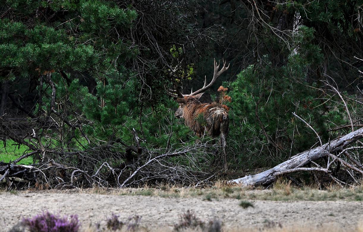 Het andere hert gaat er als een speer vandoor - Foto: ©Louis Fraanje