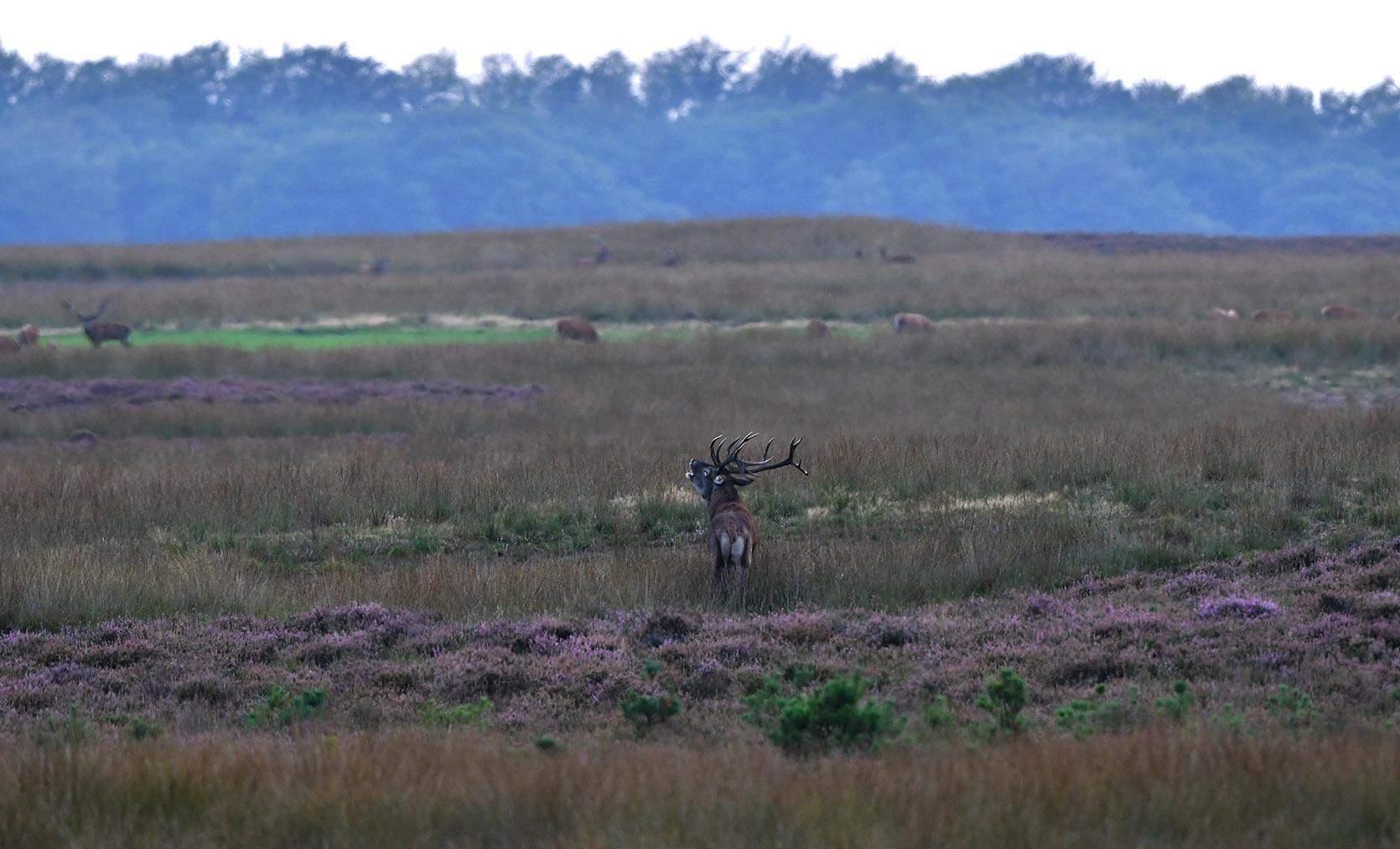 Hij gooit zijn kop achterover en laat zijn brontroep over het Reemsterveld daveren - Foto: ©Louis Fraanje
