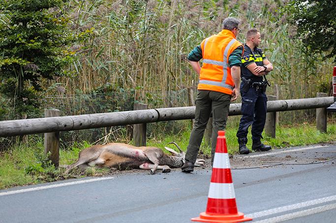 Het aangereden hert heeft de aanrijding niet overleefd - Foto: ©Luciano de Graaf