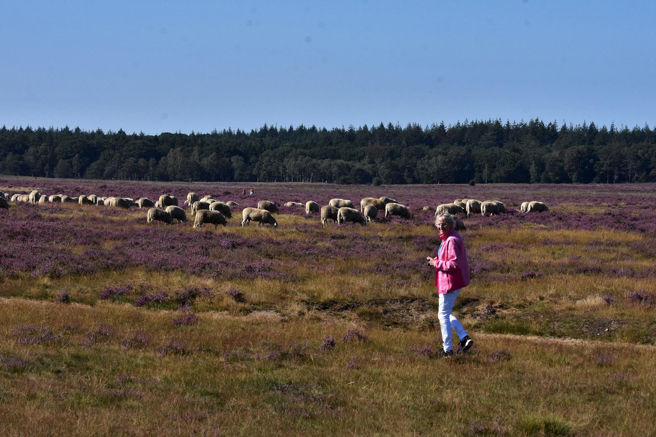 Fransien is helemaal weg van de witgewolde kudde in de paarse heide - Foto: ©Louis Fraanje