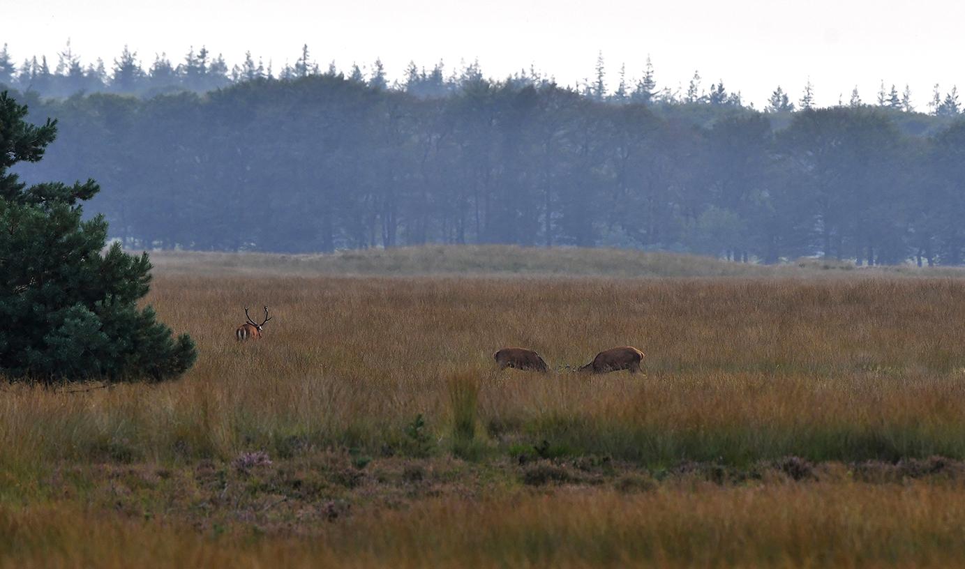 Vechtende herten in het hoge gras en nog een hert aan de bosrand - Foto: ©Louis Fraanje