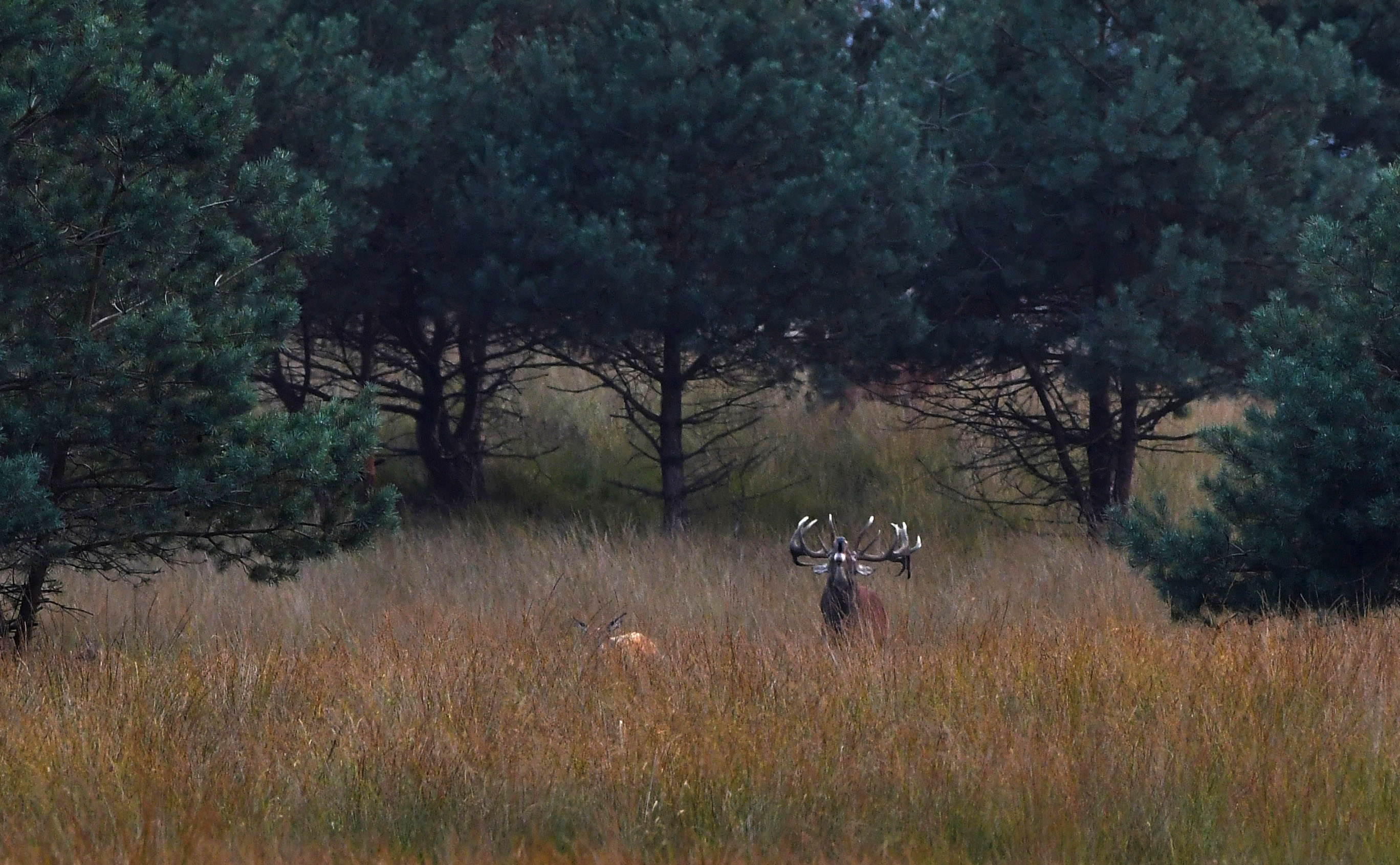 Het hert laat zijn bekende bronstroep over het vrije veld denderen - Foto: ©Louis Fraanje