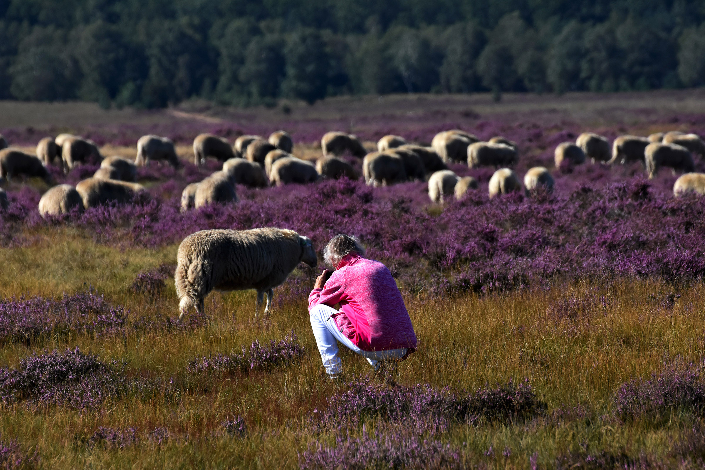 En krijg dan maar eens zo'n druk grazend schaap goed in de lens - Foto: ©Louis Fraanje