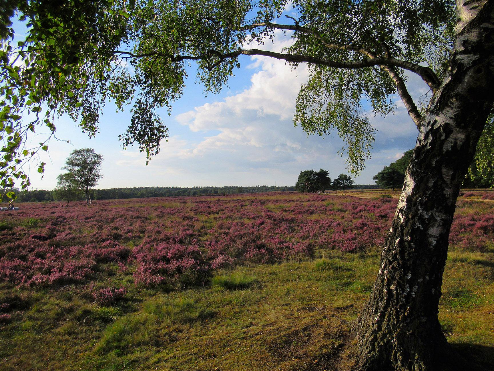 Edese Heide in bloei en helemaal rechts ligt de oude Hessenweg die richting de Driesprong gaat - Foto: ©Louis Fraanje